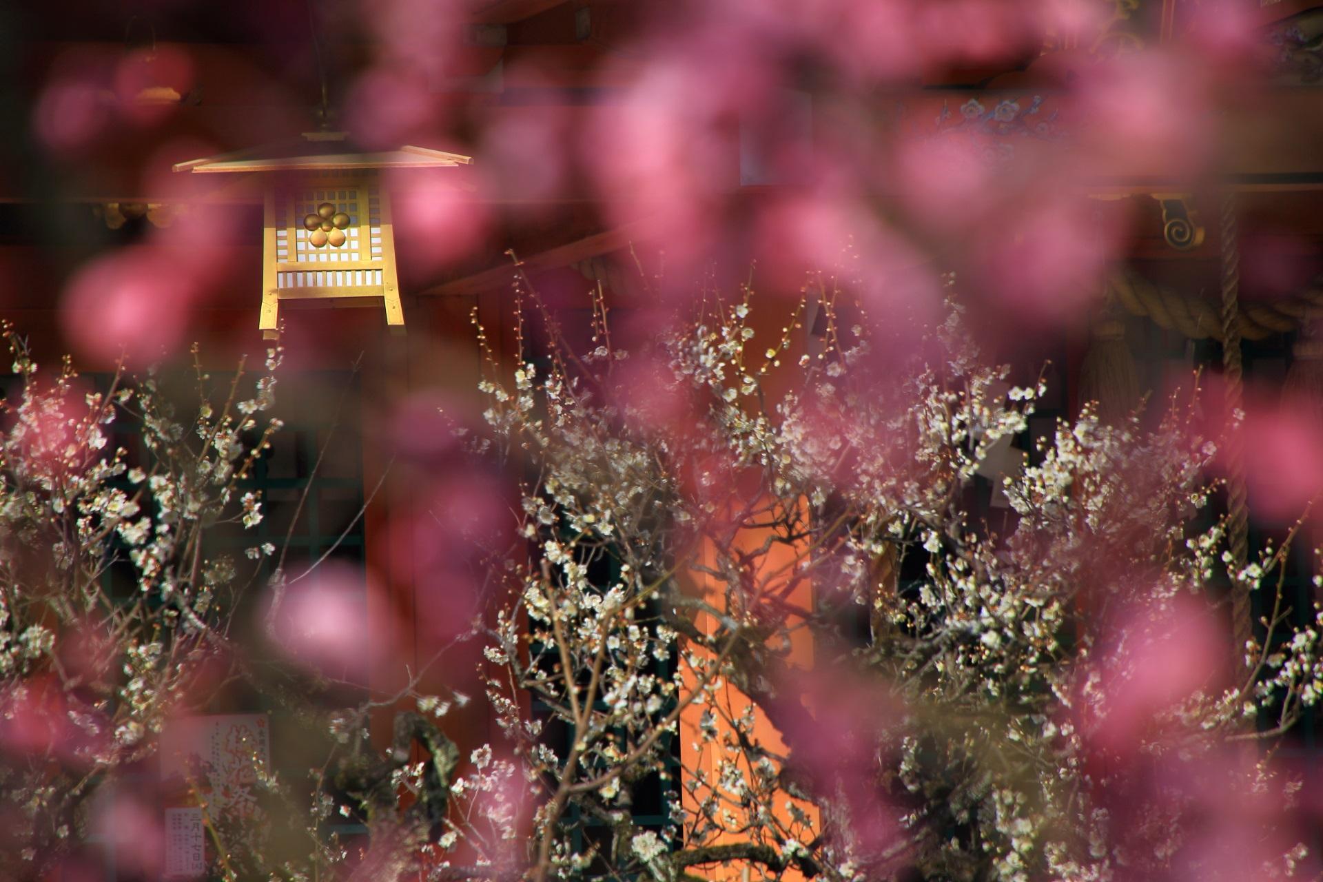 ぼやけたピンクの梅の花と本殿の吊り灯篭と白梅