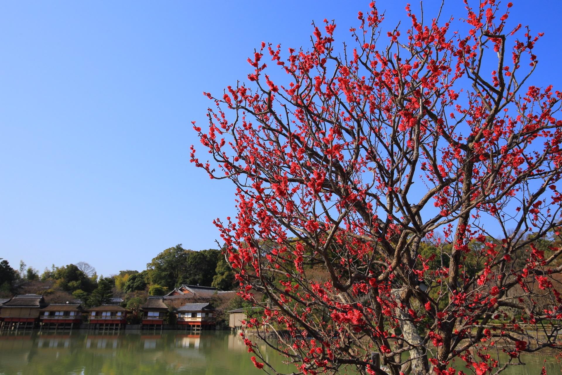 八条ヶ池と錦水亭を彩る水辺の梅