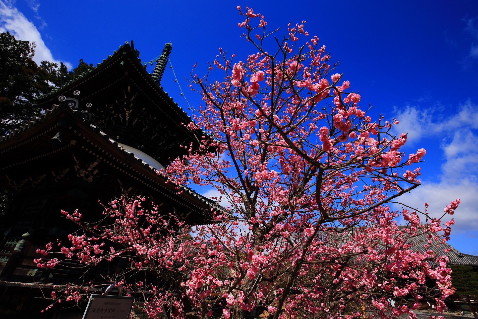 清涼寺 梅 伽藍と青空を彩る煌びやかな紅白の梅