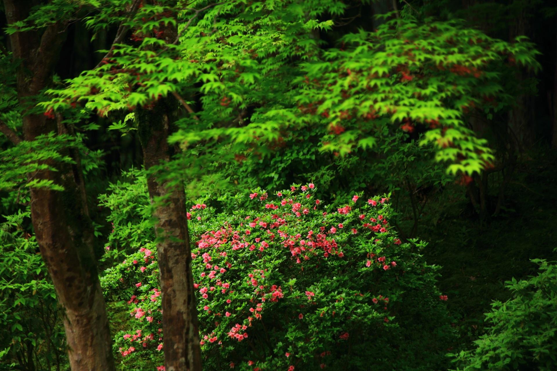深い緑の中で浮かび上がるような煌くピンクのツツジ