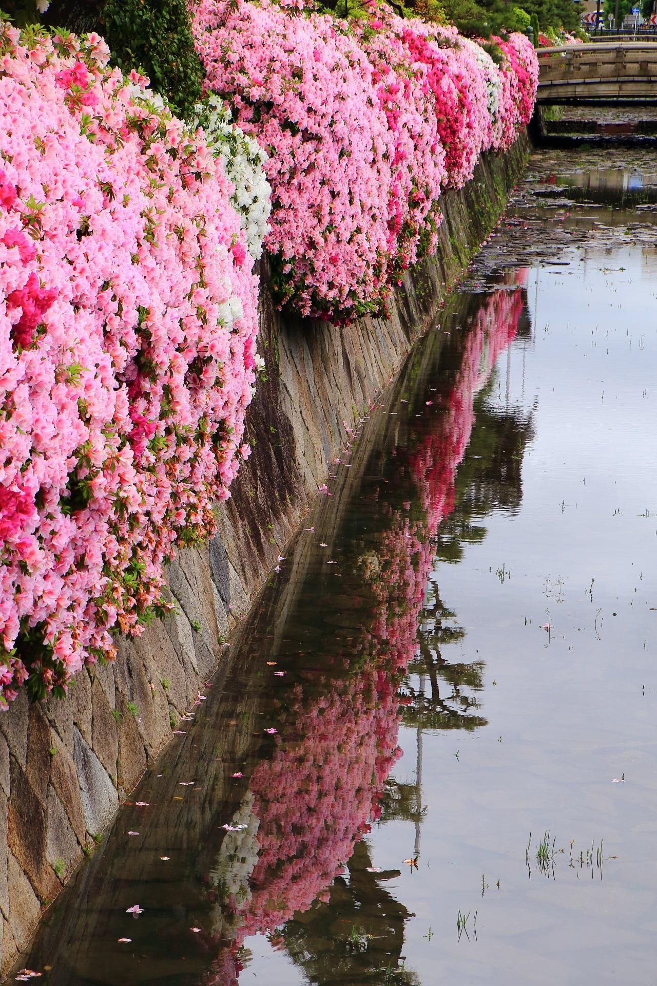 結構な量の雨が降った為に水が溜まった躑躅の咲く西本願寺のお堀