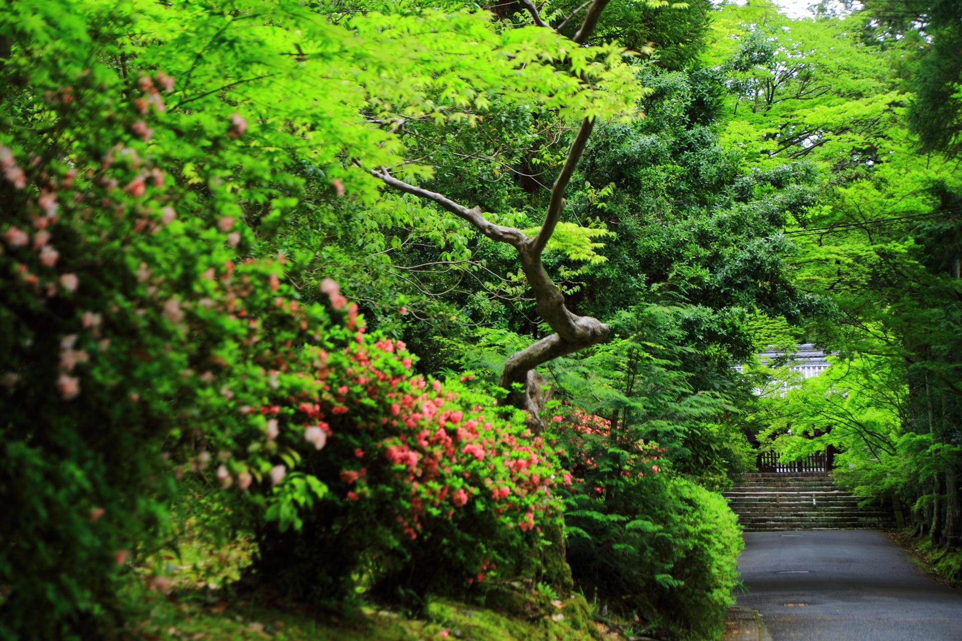 曼殊院の風情ある緑の参道を華やぐ煌びやかなツツジ