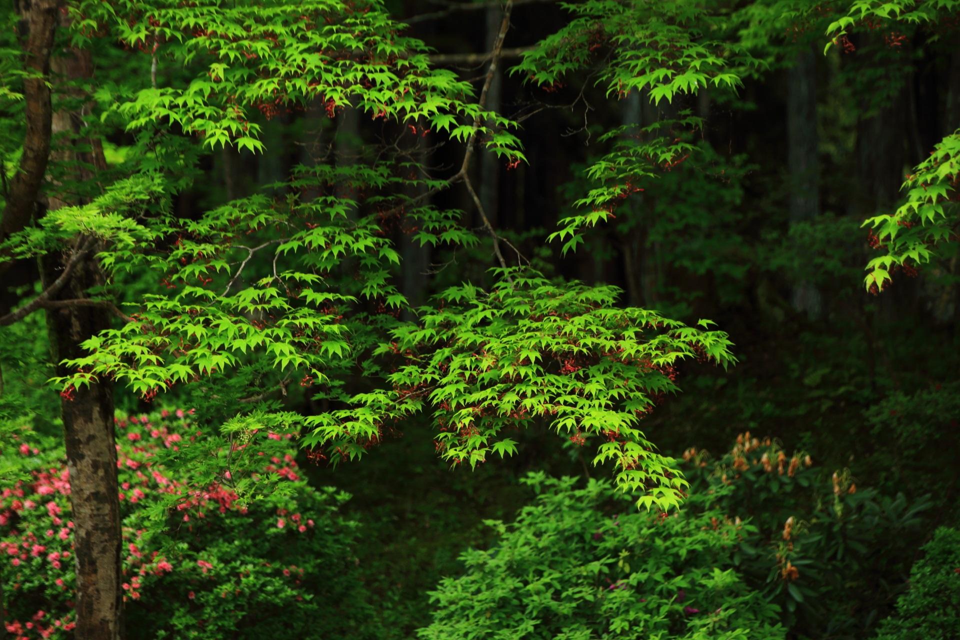 曼殊院の春の庭園を彩る鮮やかな新緑