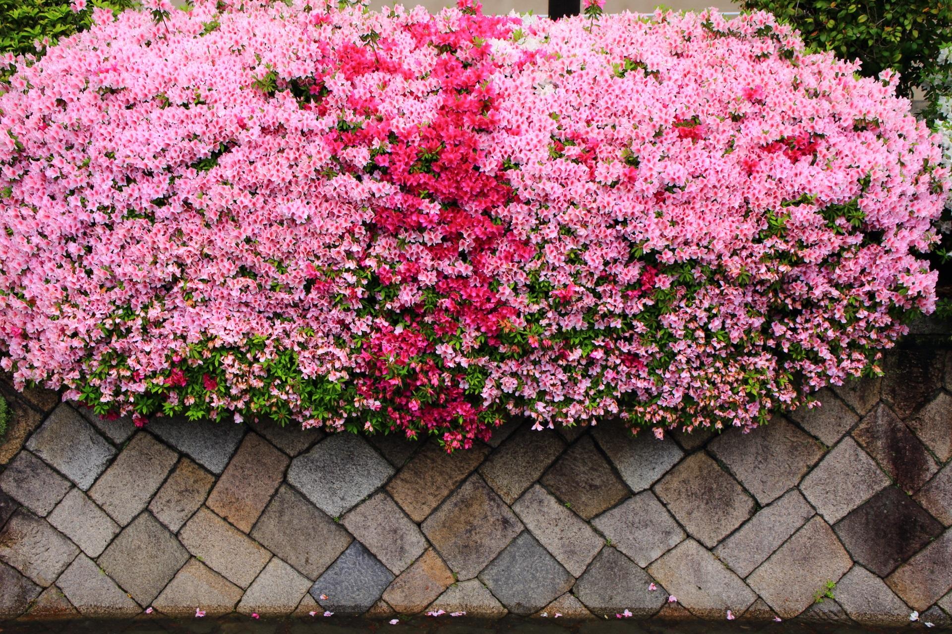 弾けんばかりに咲き誇る鮮やかな2色のツツジ