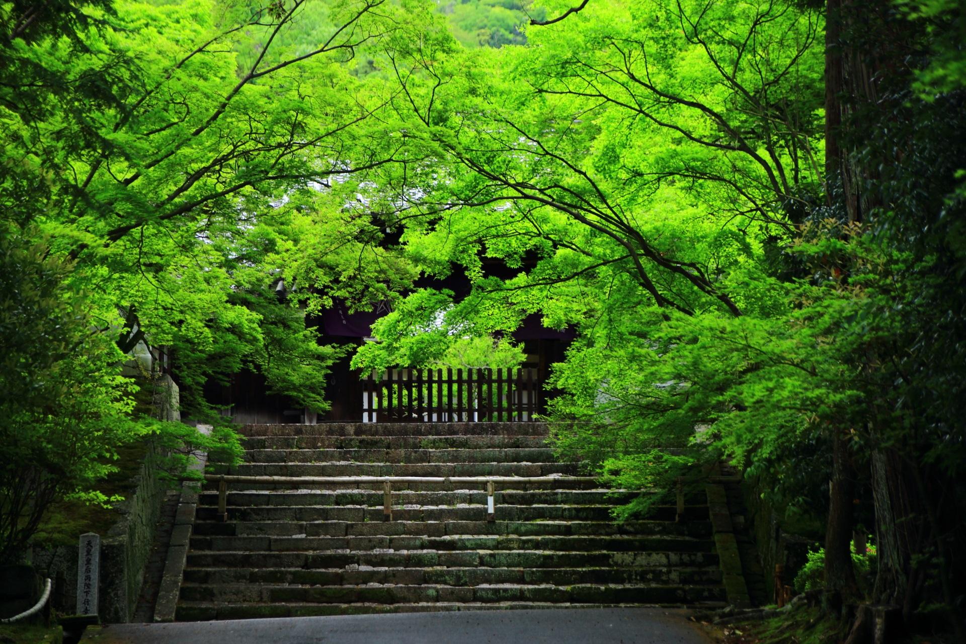 見事な新緑が溢れ出す曼殊院の勅使門前