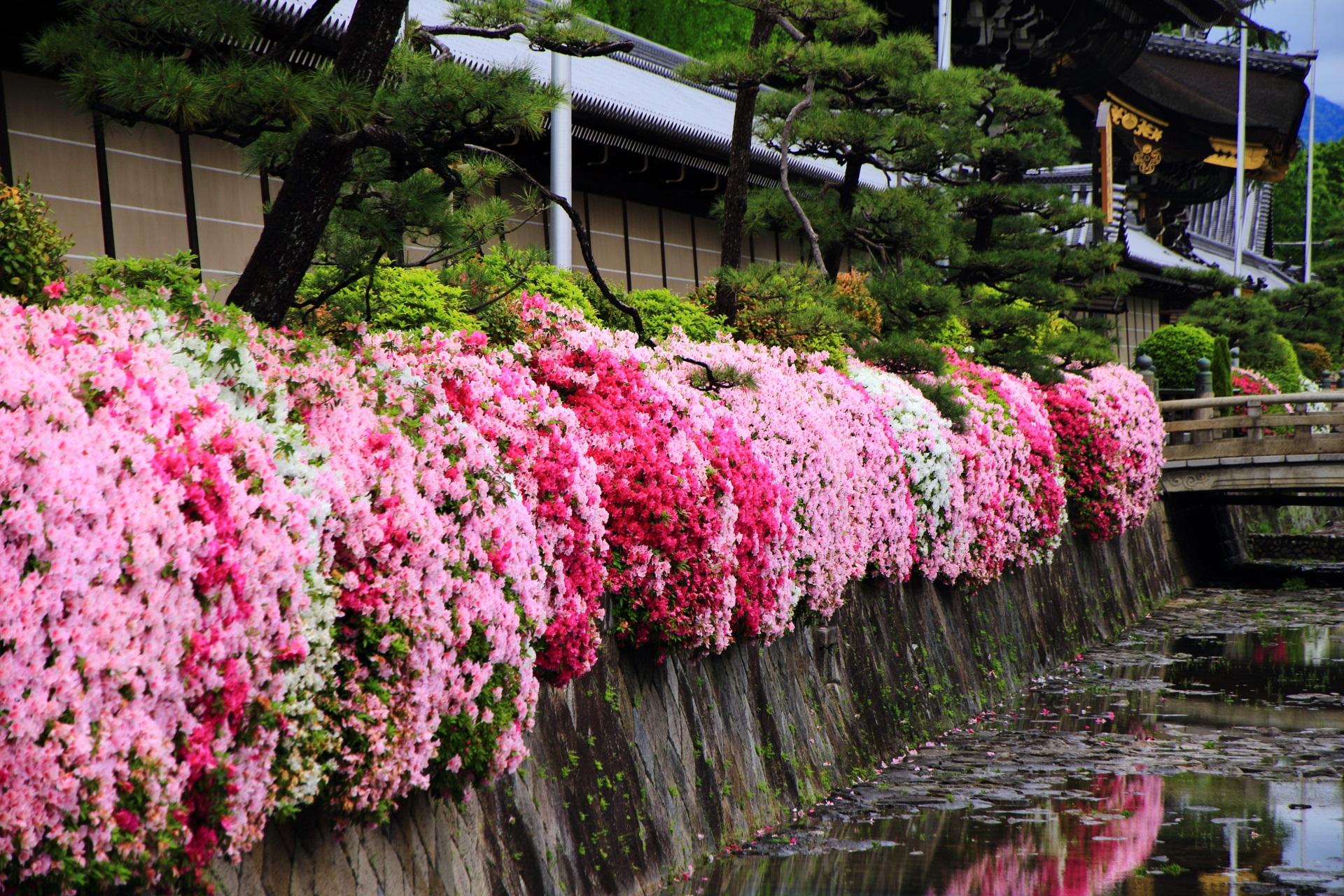 鮮やかで上品なツツジに彩られる春の西本願寺