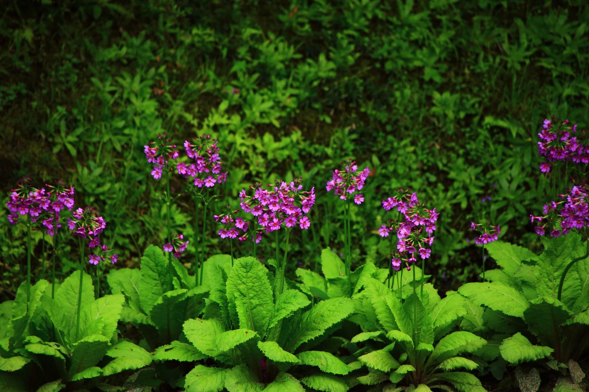 曼殊院の淡い緑に映える鮮やかな紫の花