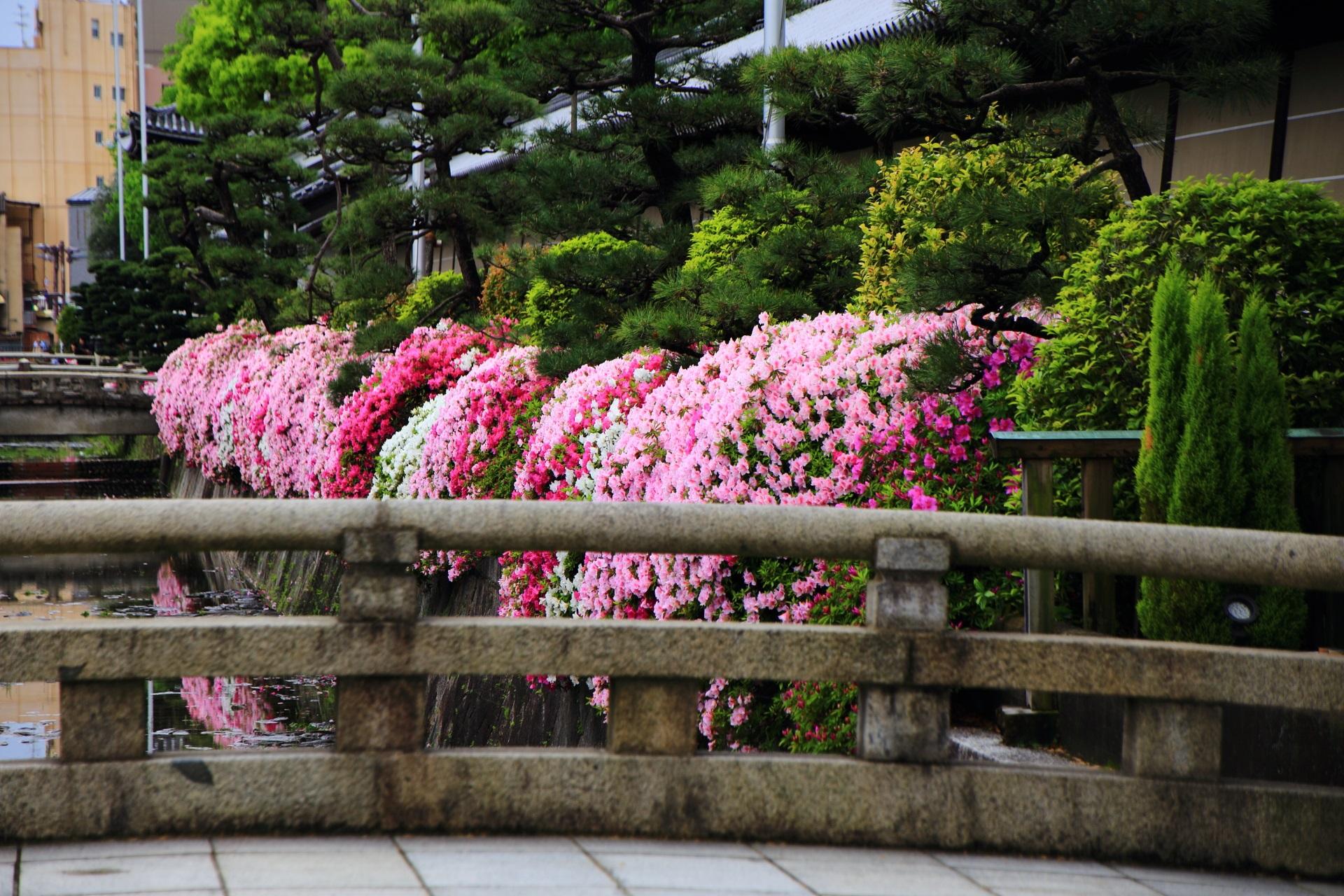 阿弥陀堂門と御影堂門の間で一番豪快に咲くつつじ