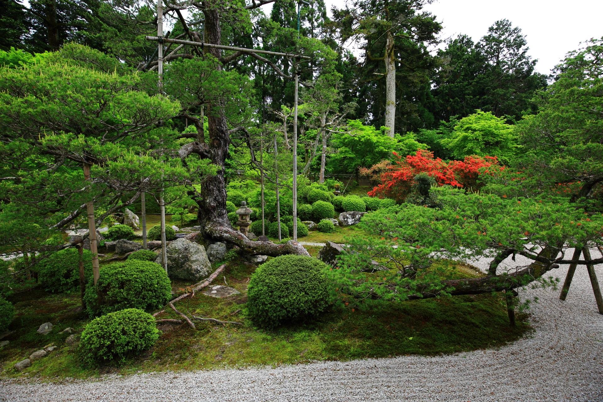 曼殊院の樹齢400年程と言われる鶴を表現した五葉松と鮮やかな赤いツツジ