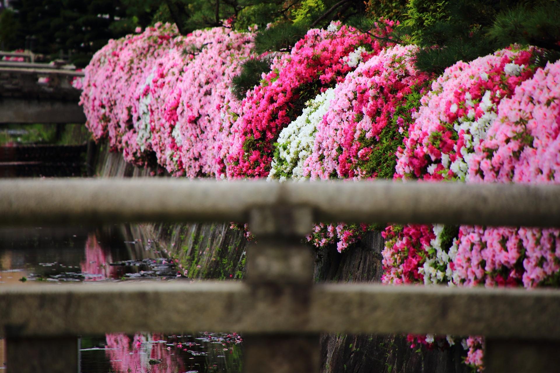 こぼれ落ちそうな花をいっぱいに咲かせる西本願寺のつつじ