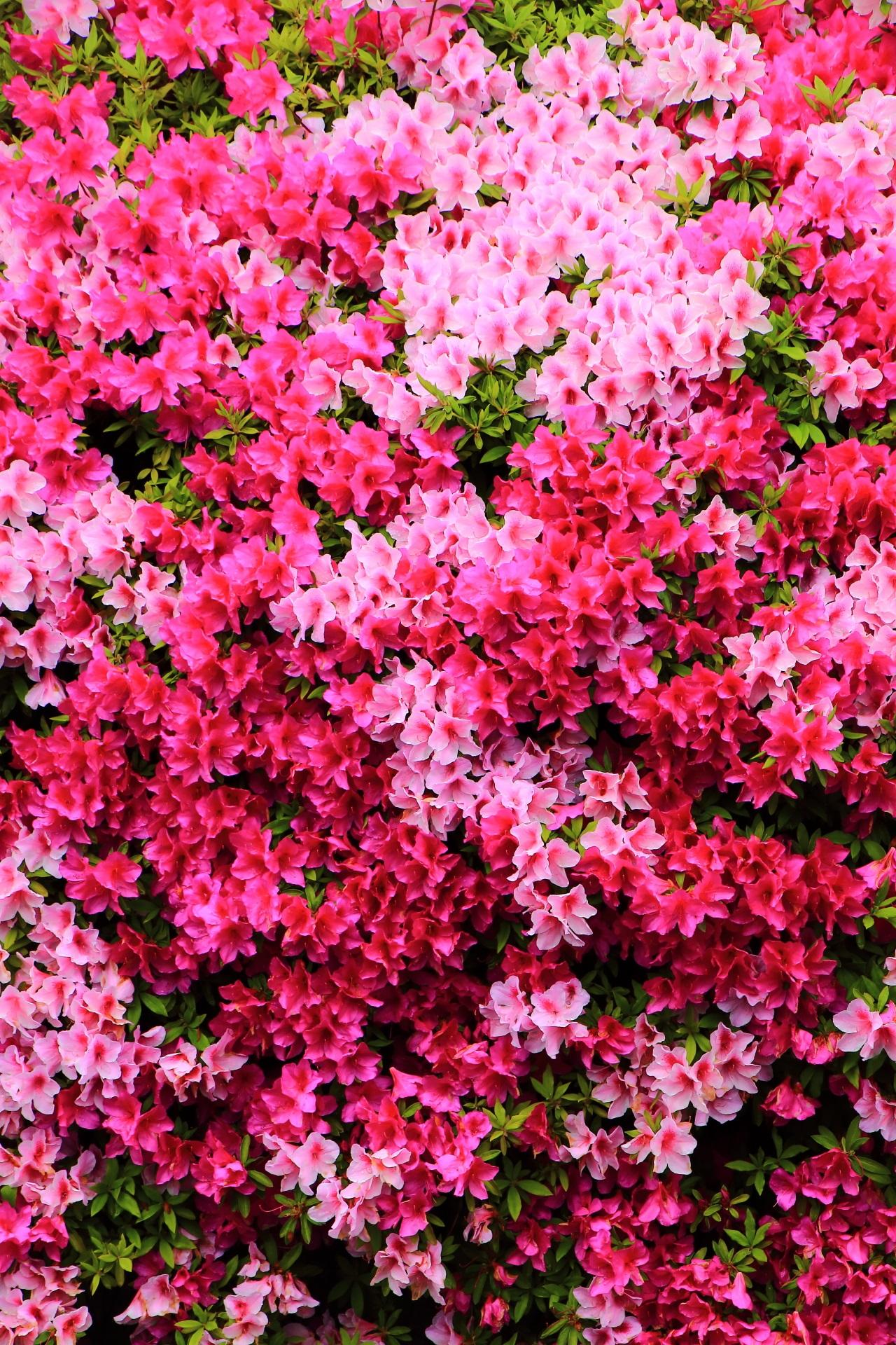 咲き誇る幻想的で妖艶なツツジ