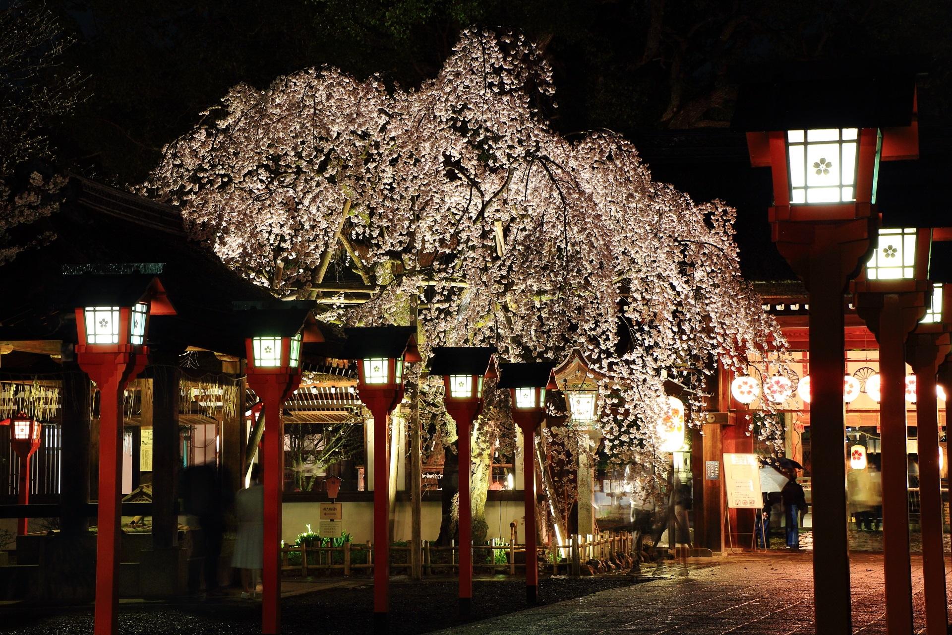 雨に輝く魁桜