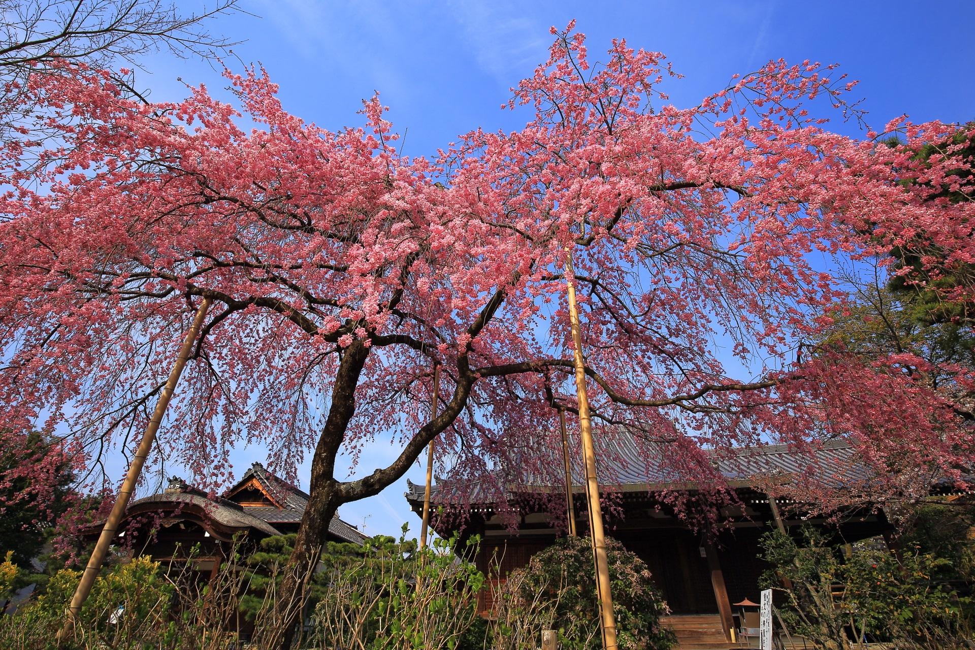法金剛院 桜 春の水辺の彩りと待賢門院桜