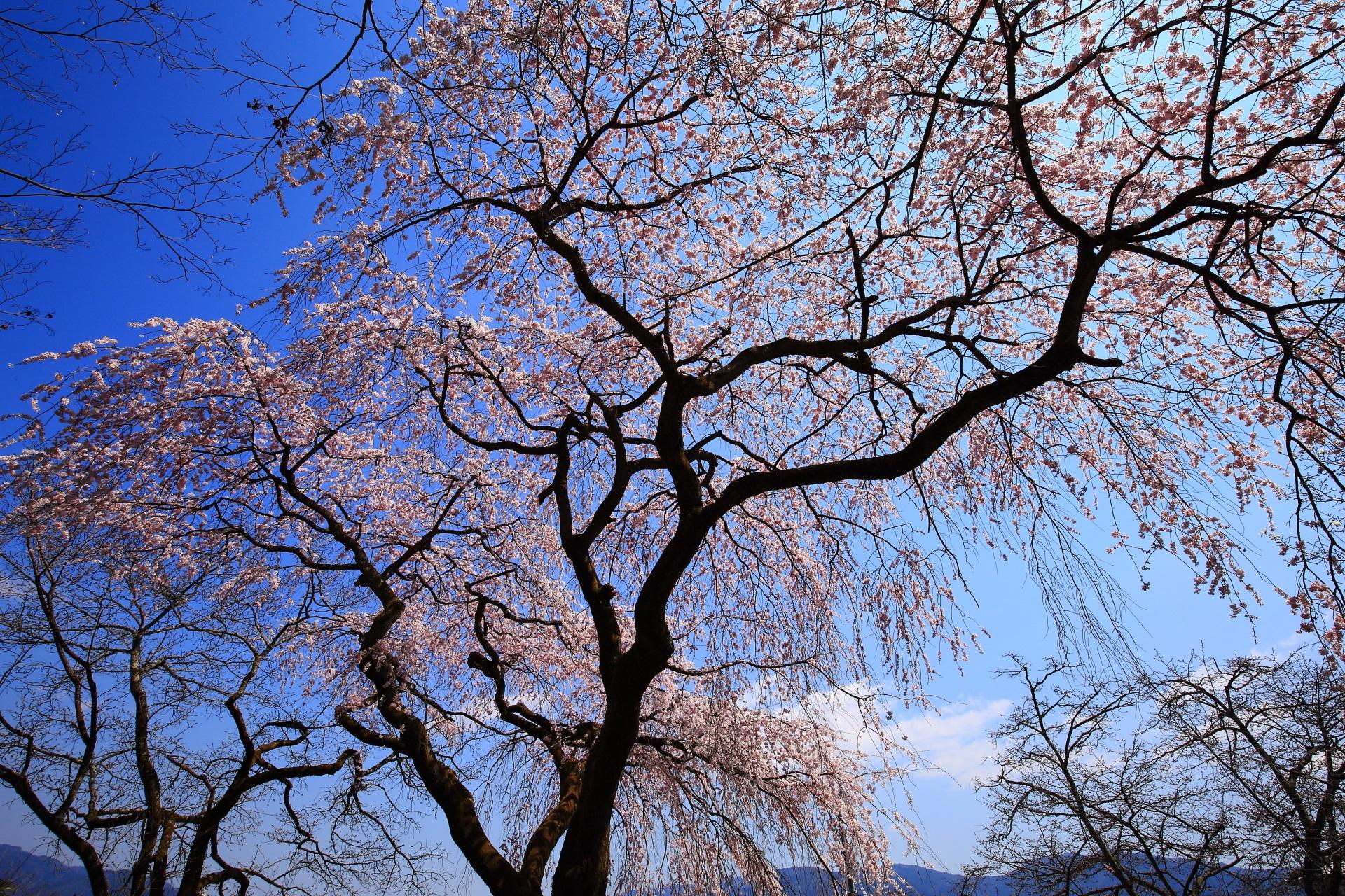 岩屋寺 桜 大石内蔵助ゆかりのお寺の豪快な桜