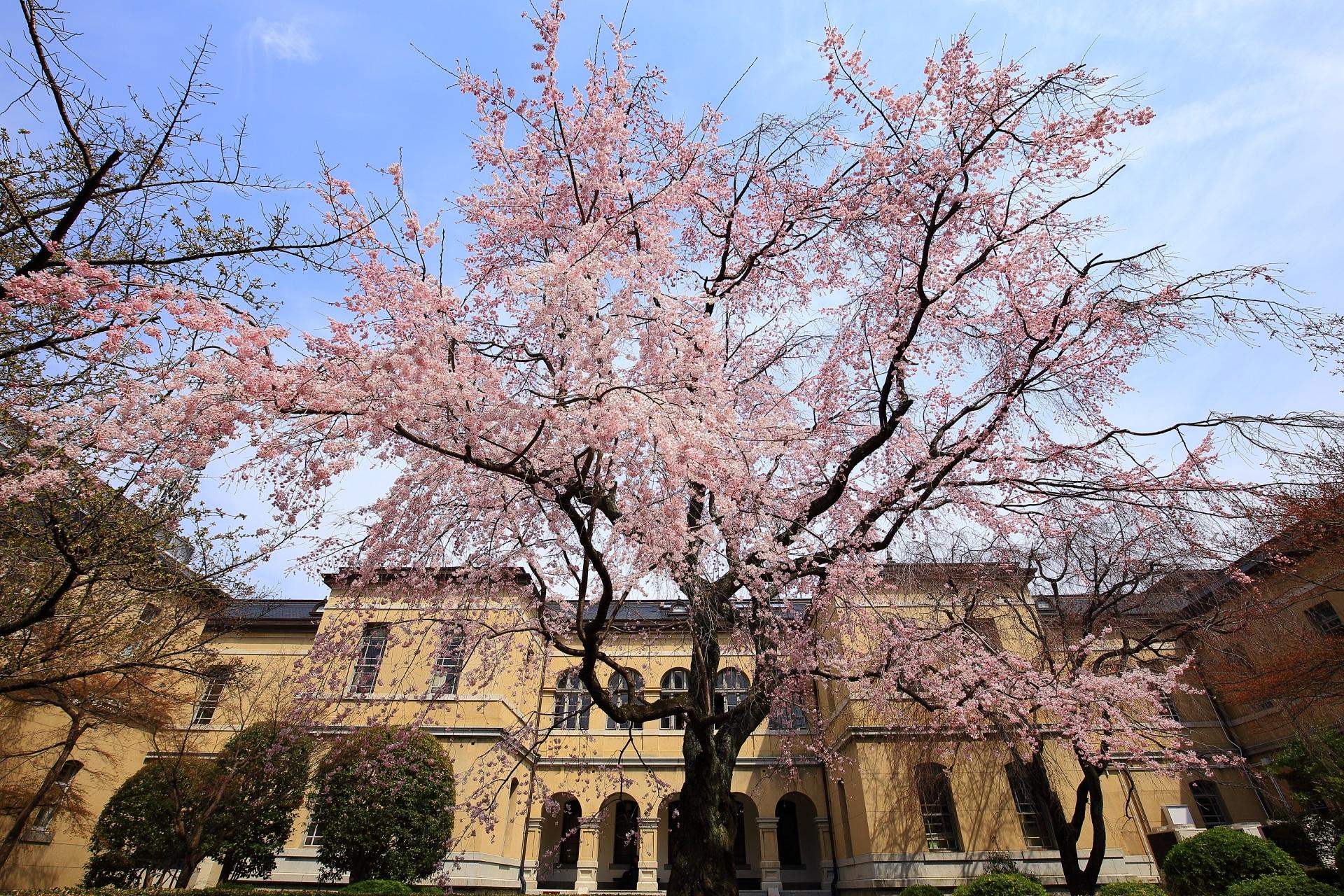 京都府庁旧本館の中庭の満開のしだれ桜