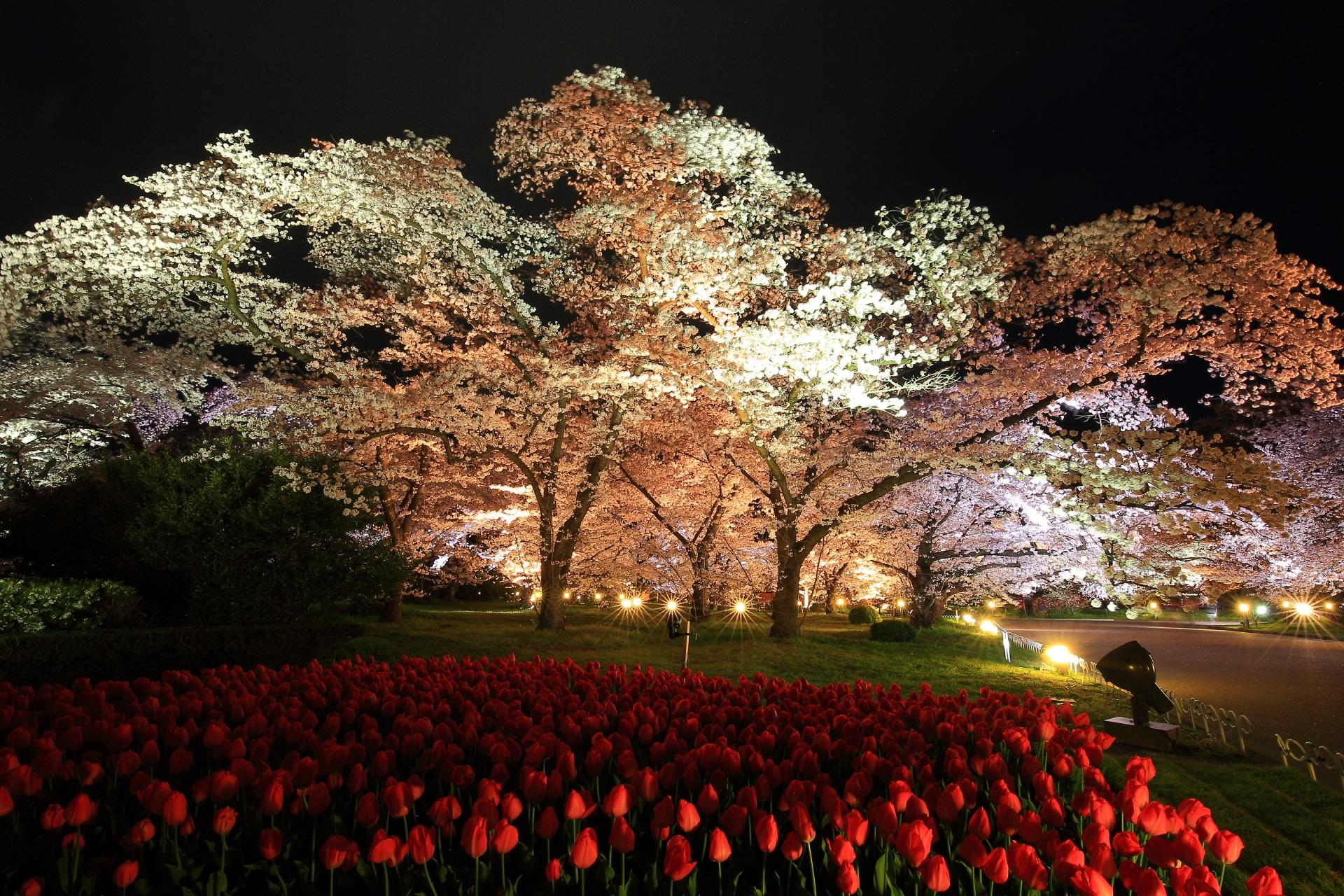 京都府立植物園の夜桜
