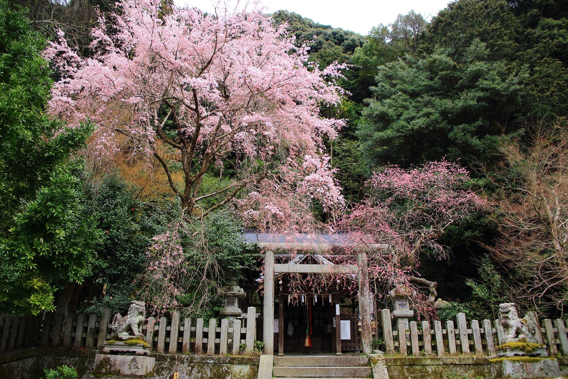 大豊神社 しだれ桜 華やかなピンクの舞