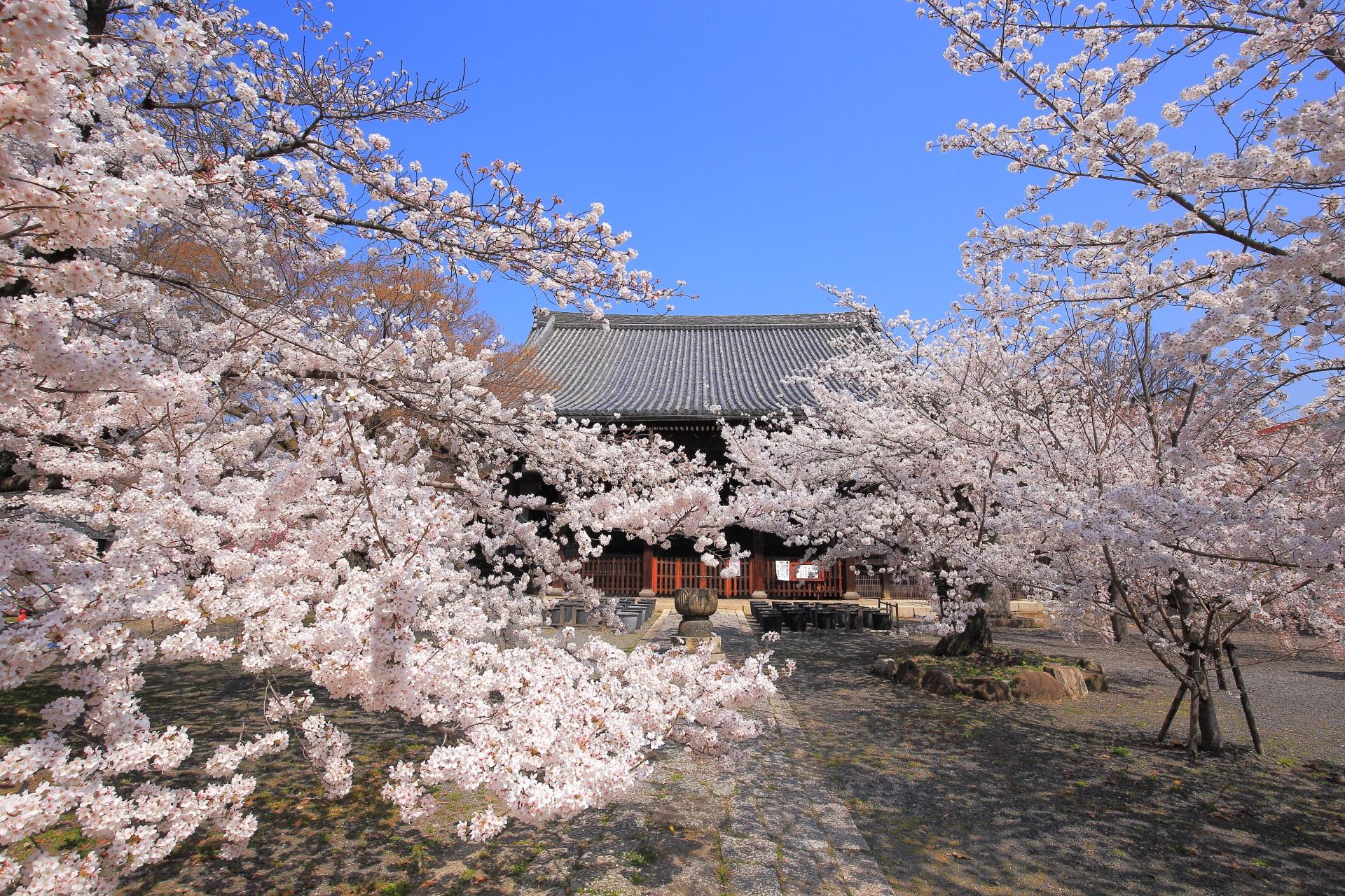 立本寺 桜