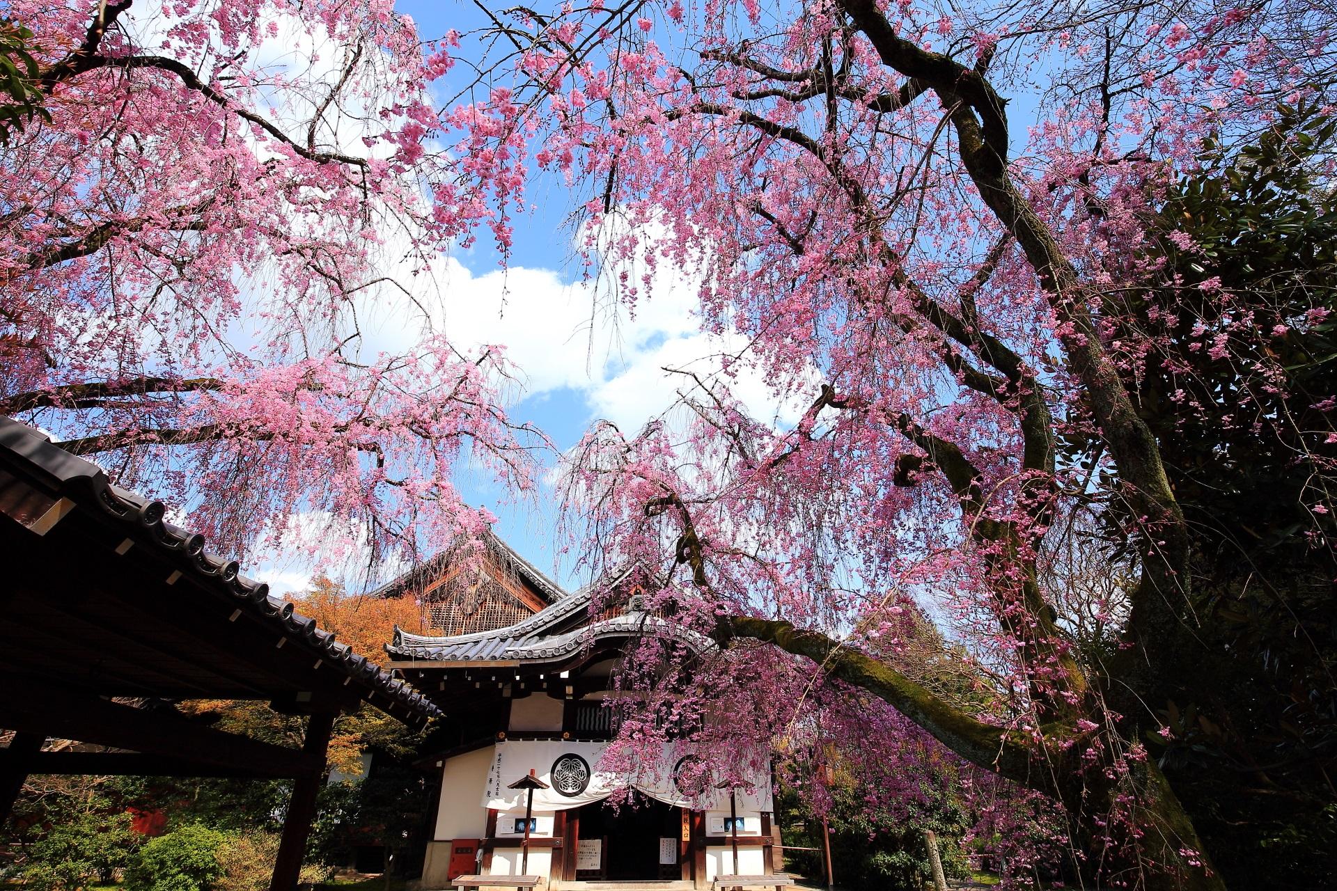 養源院 桜 ひっそりと佇む華やかな彩り