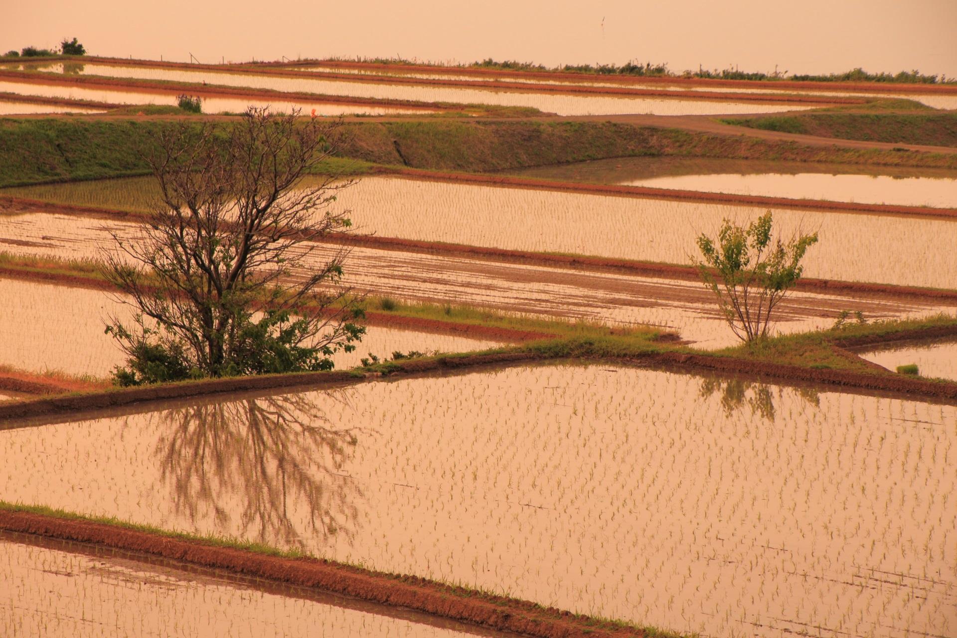 夕陽に染まった田んぼに映る綺麗な水鏡