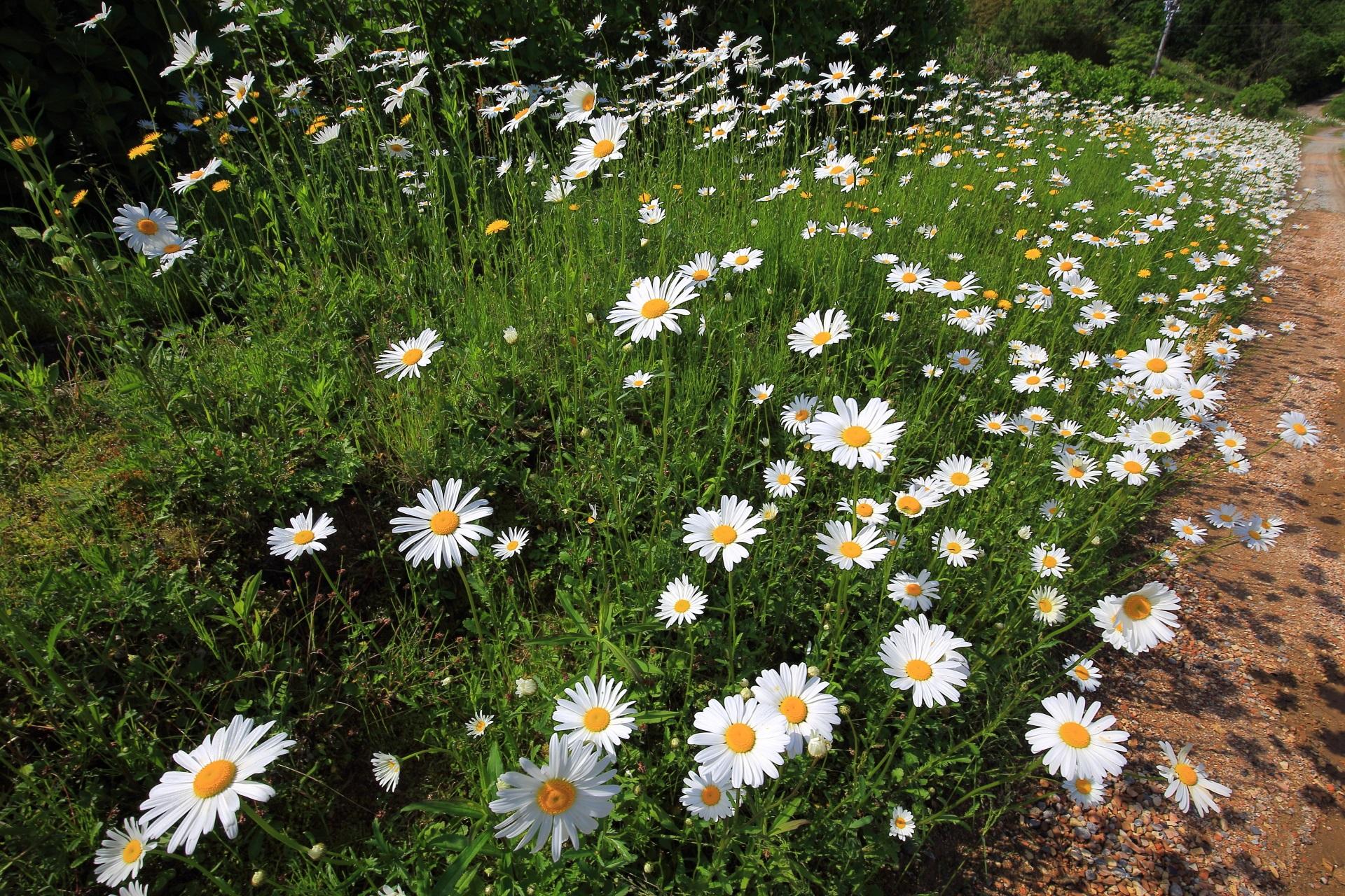 花びらをいっぱいに広げて元気に咲き誇るマーガレット