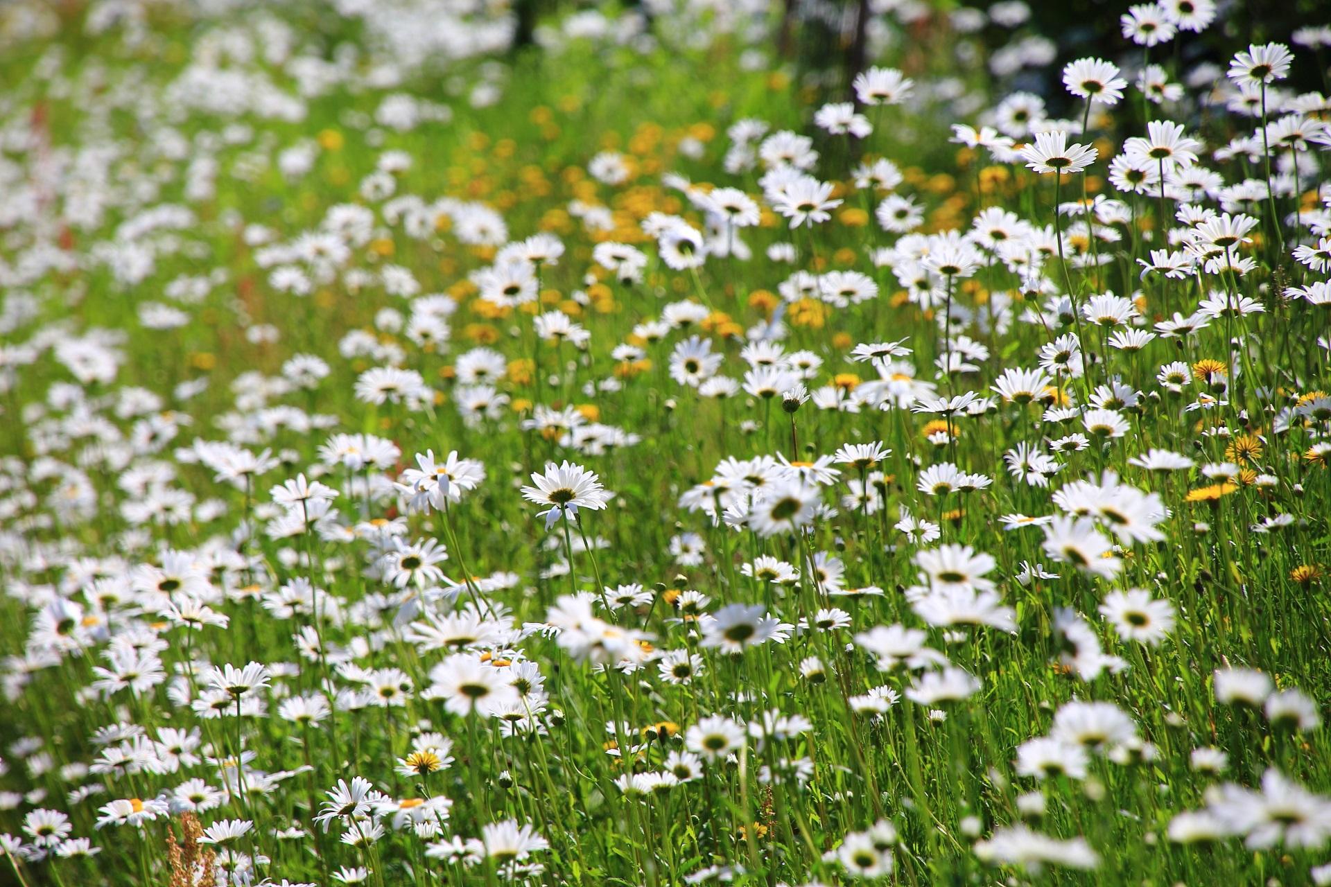 太陽を浴びて華やぐ白や黄色のマーガレットの花