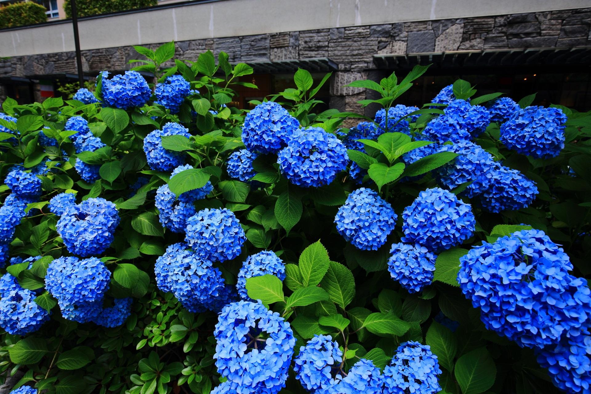 京都のちょっとした紫陽花の名所の御池通