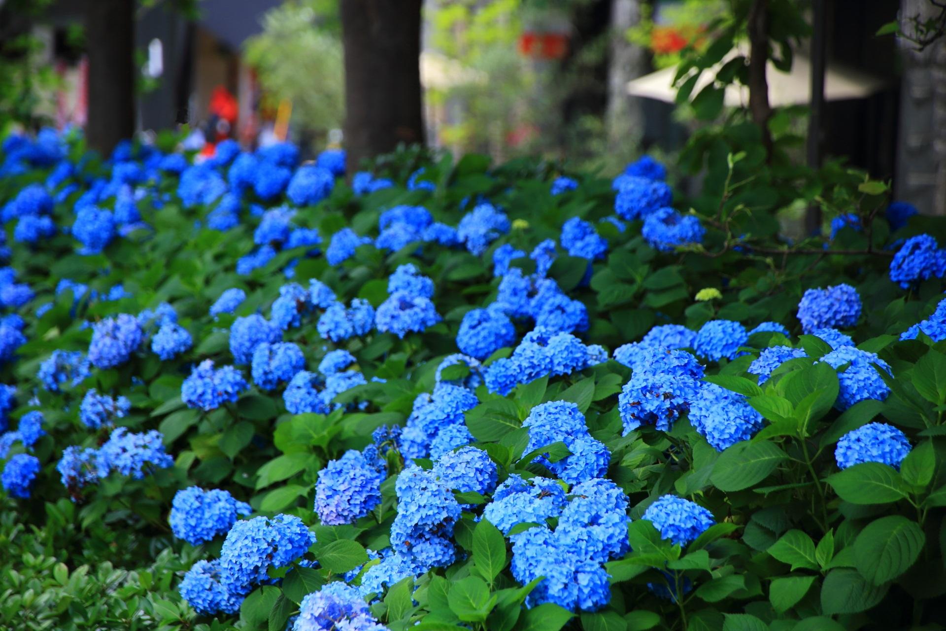 やや遠目から眺めた御池通りの溢れる青い紫陽花