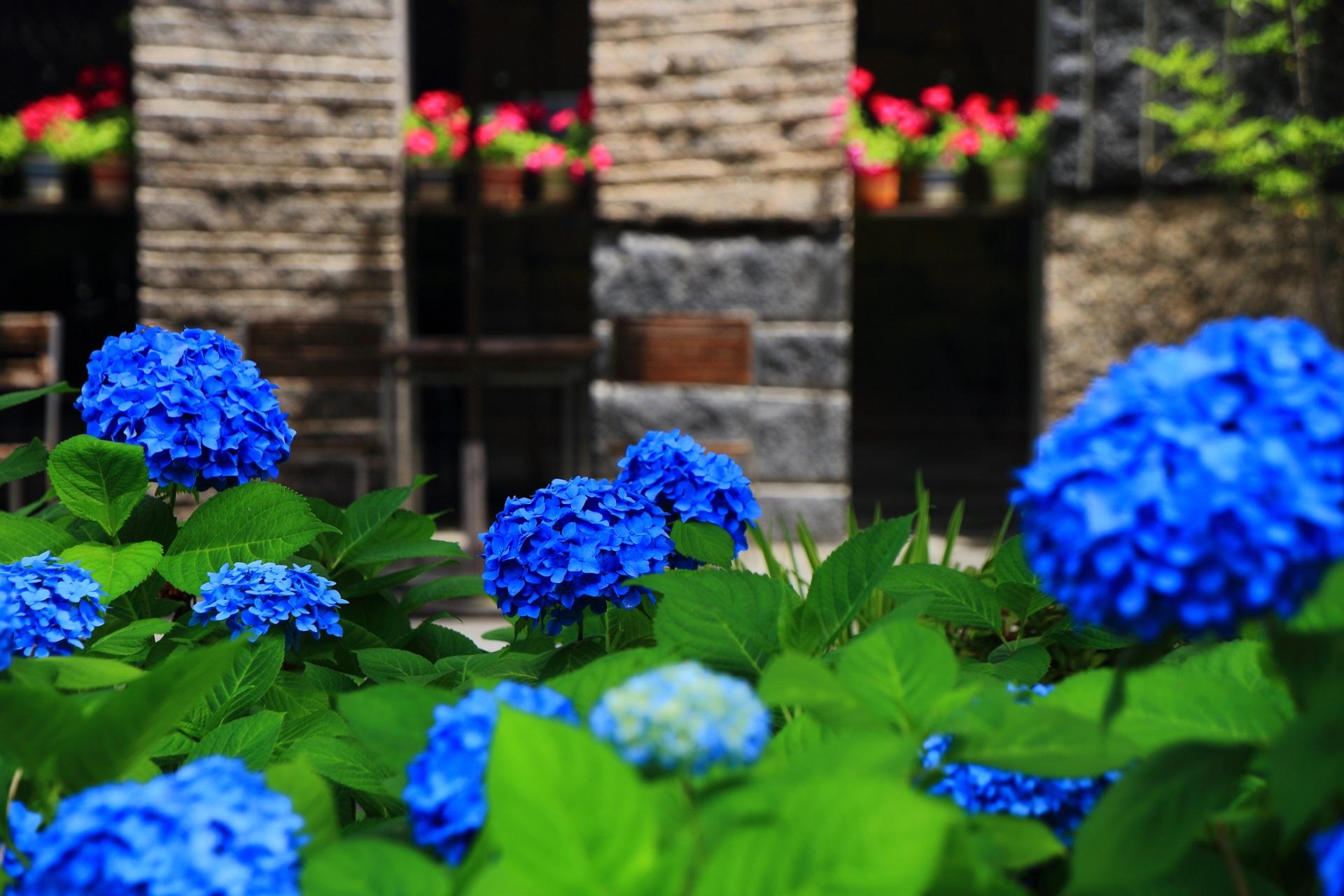 お店の赤い花が演出する御池通りの青い紫陽花