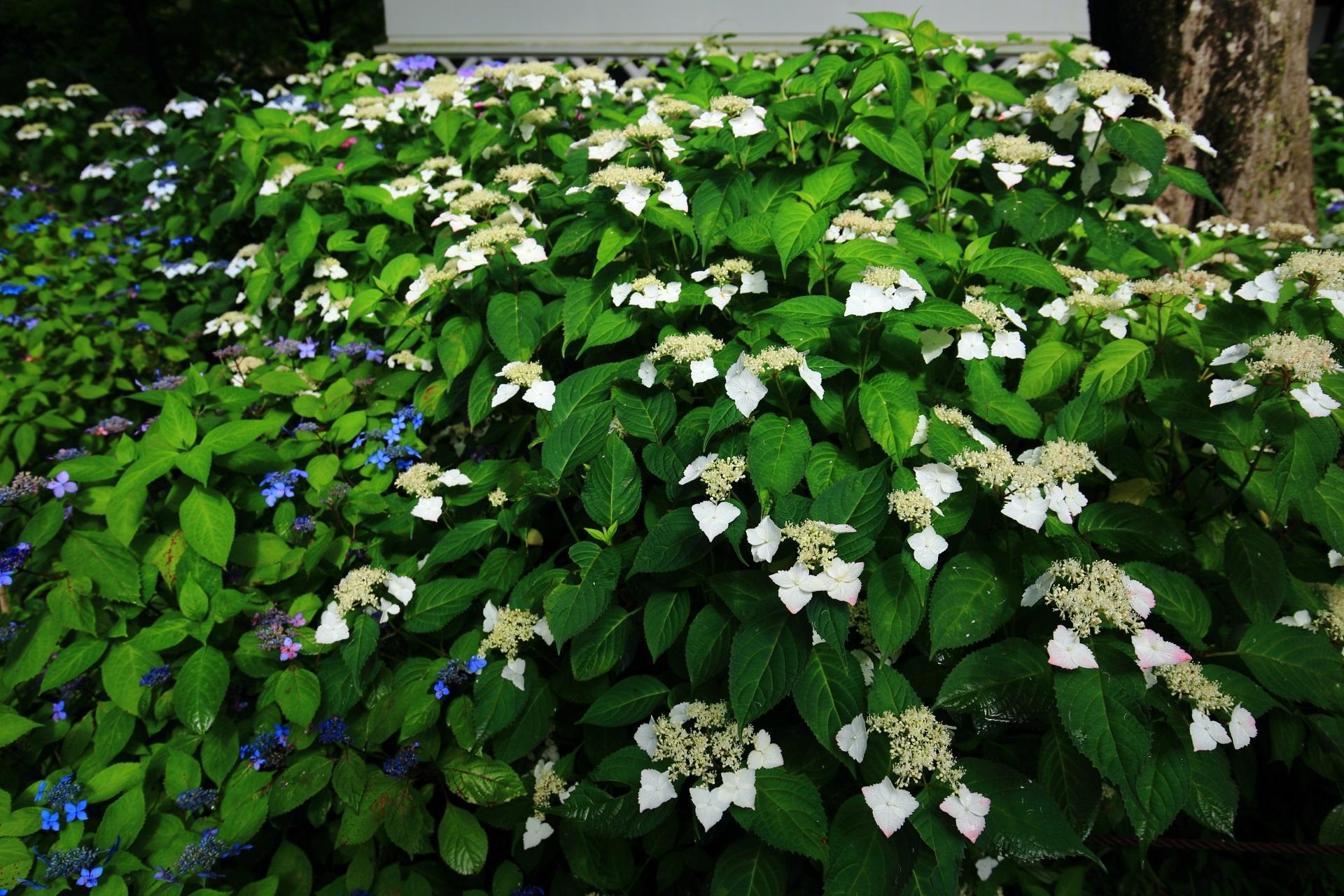 深い緑に映える真如堂の華やかな白い額紫陽花