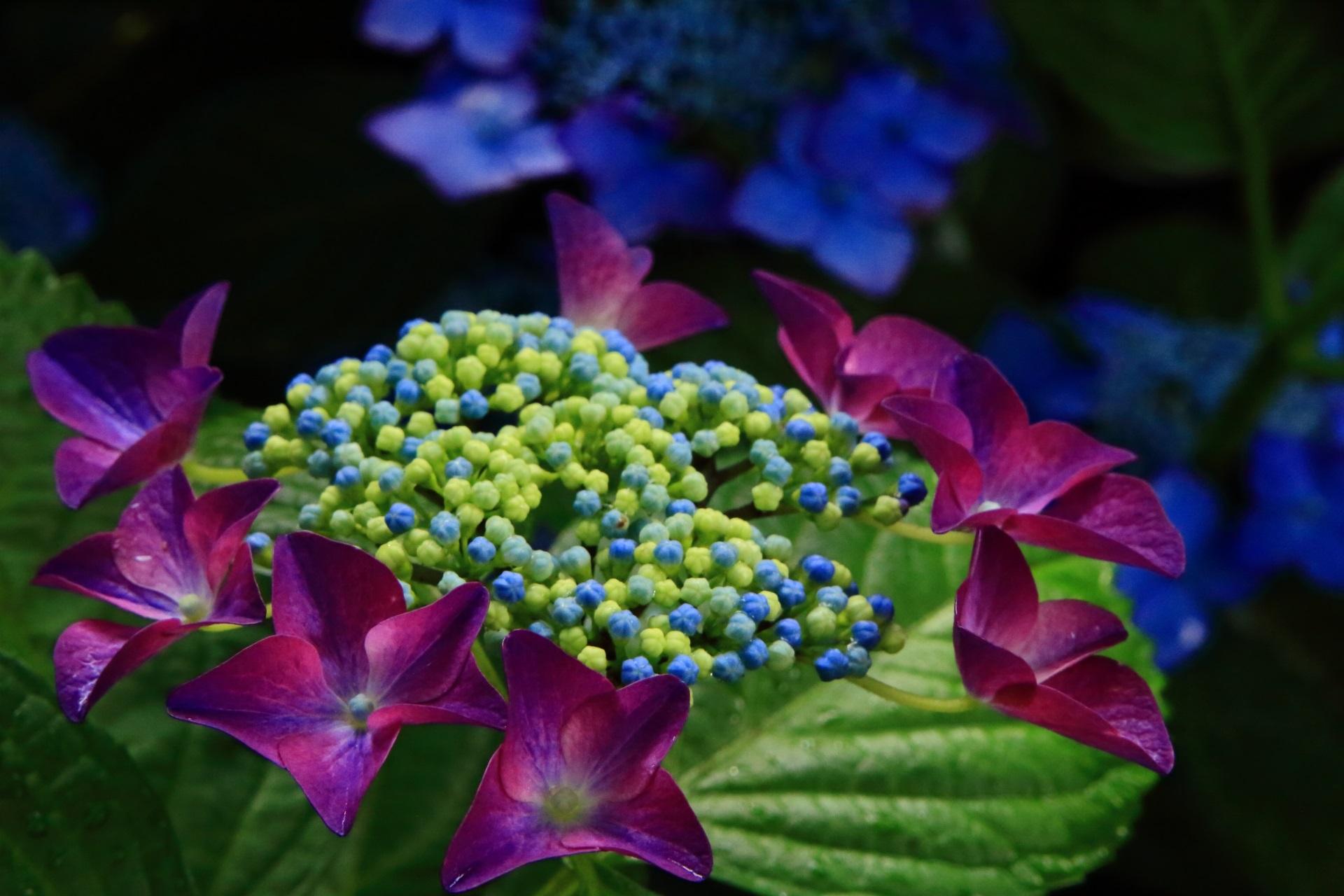 真如堂の艶やかな紫の額紫陽花