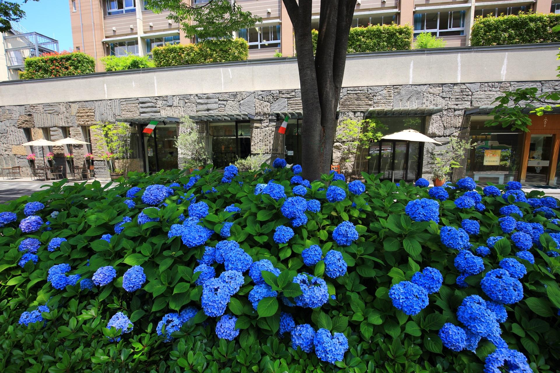 京都のシンボルロードとして整備・活性化されている御池通りの紫陽花