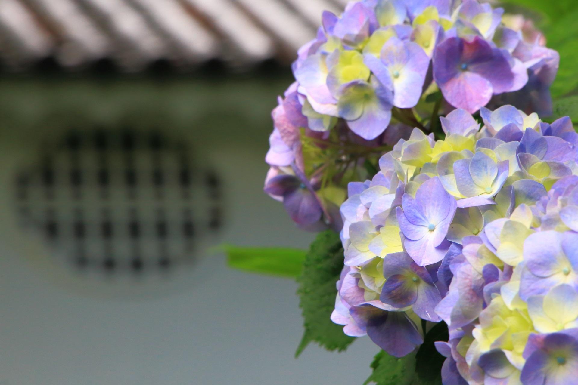 華やかな薄紫色の紫陽花と宝蔵の窓