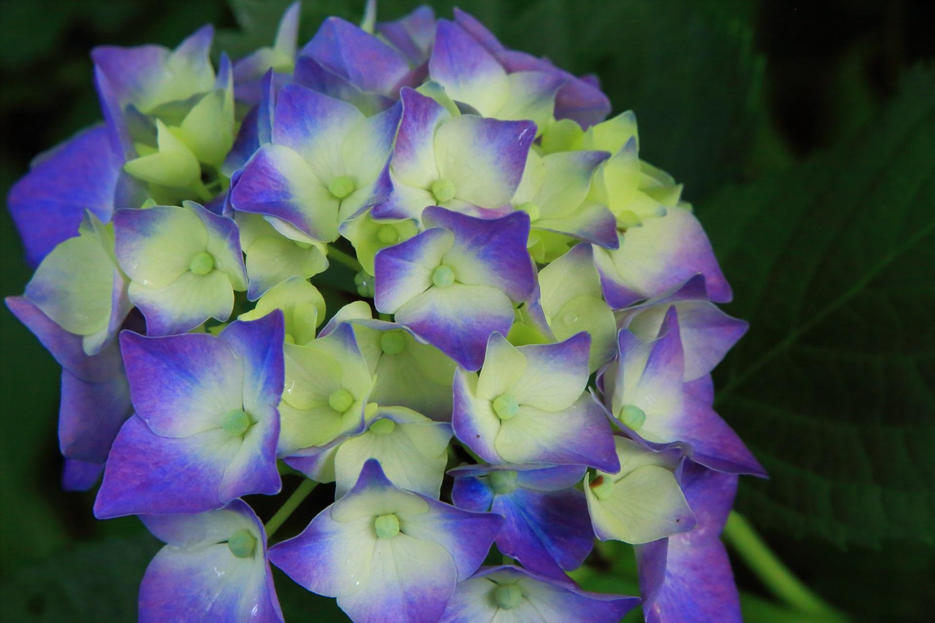 華やかさの中にも風情が感じられるしっとりとした紫陽花