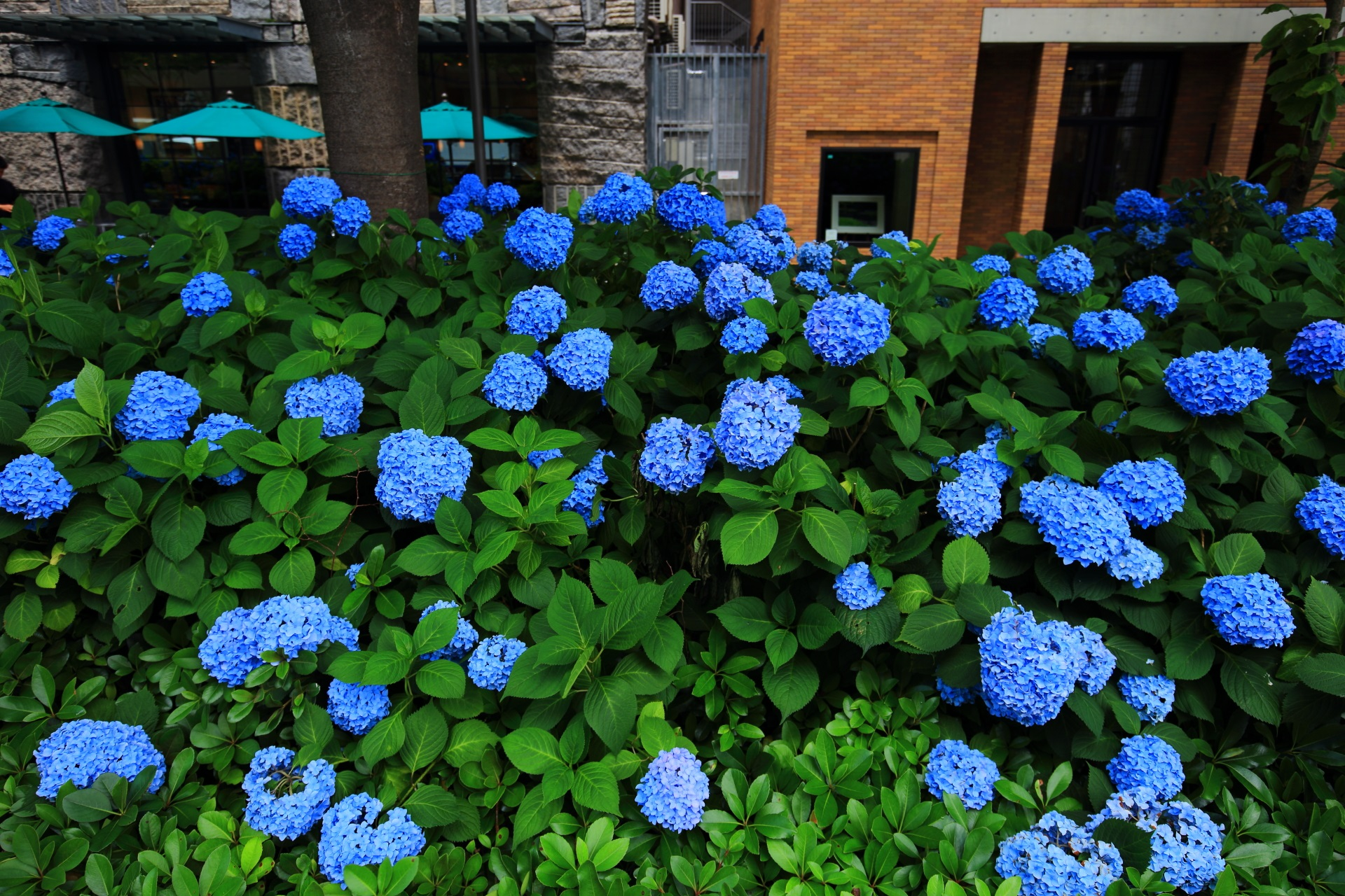 深い緑の上で揺らめく鮮やかなブルーの紫陽花