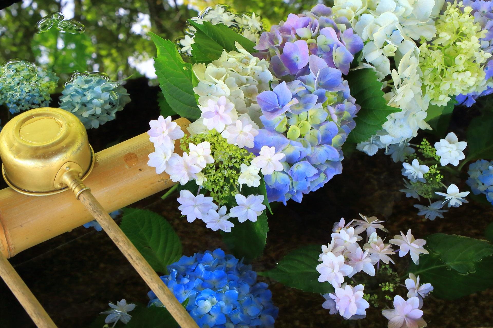 素晴らしい紫陽花のおもてなしの真如堂の手水舎