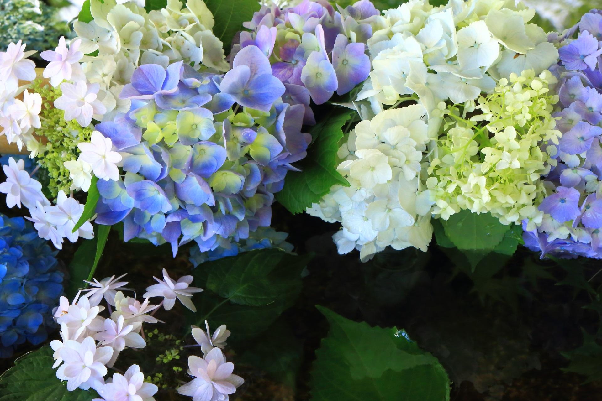 生き生きと紫陽花が溢れる真如堂の手水舎