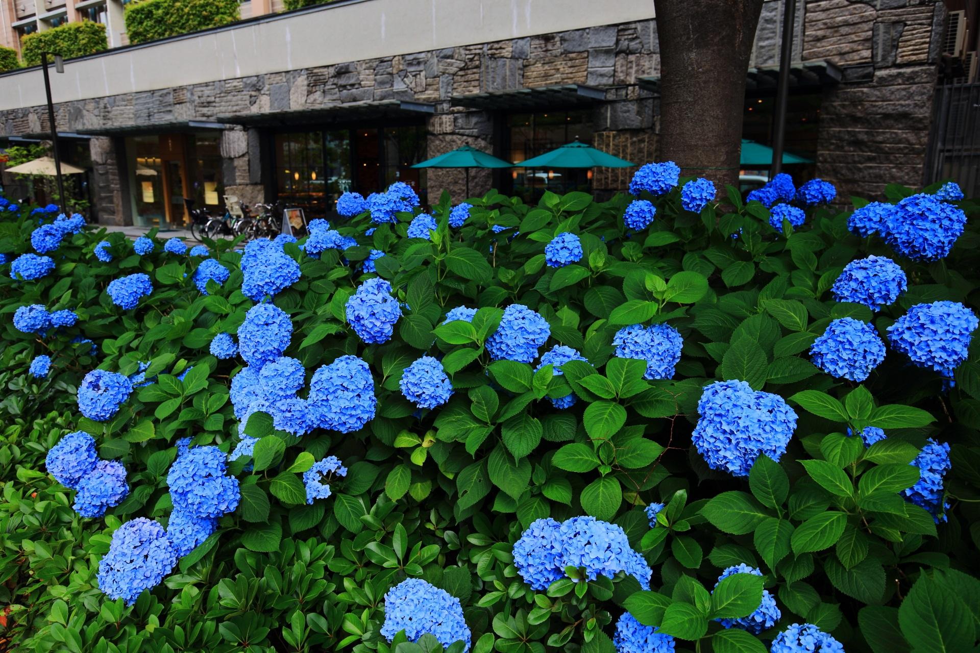 パン屋さんの「進々堂 御池店」の前の見事な紫陽花