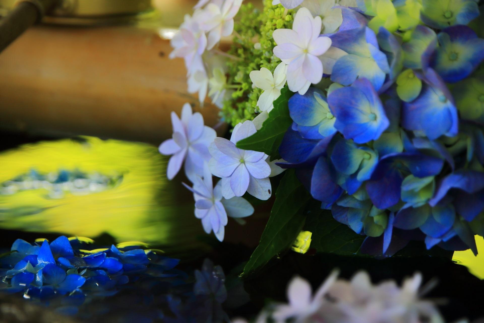 真如堂の手水舎の繊細で優雅な紫陽花の花と煌く青もみじの水鏡