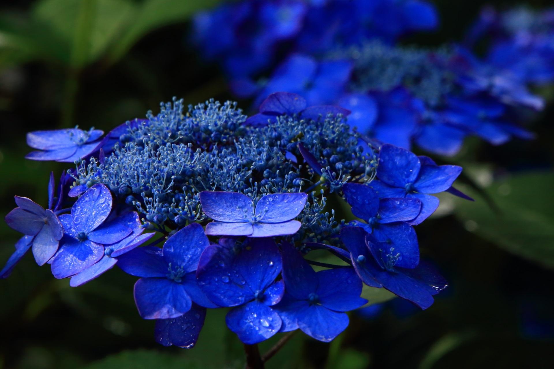 鮮烈な青さの額紫陽花