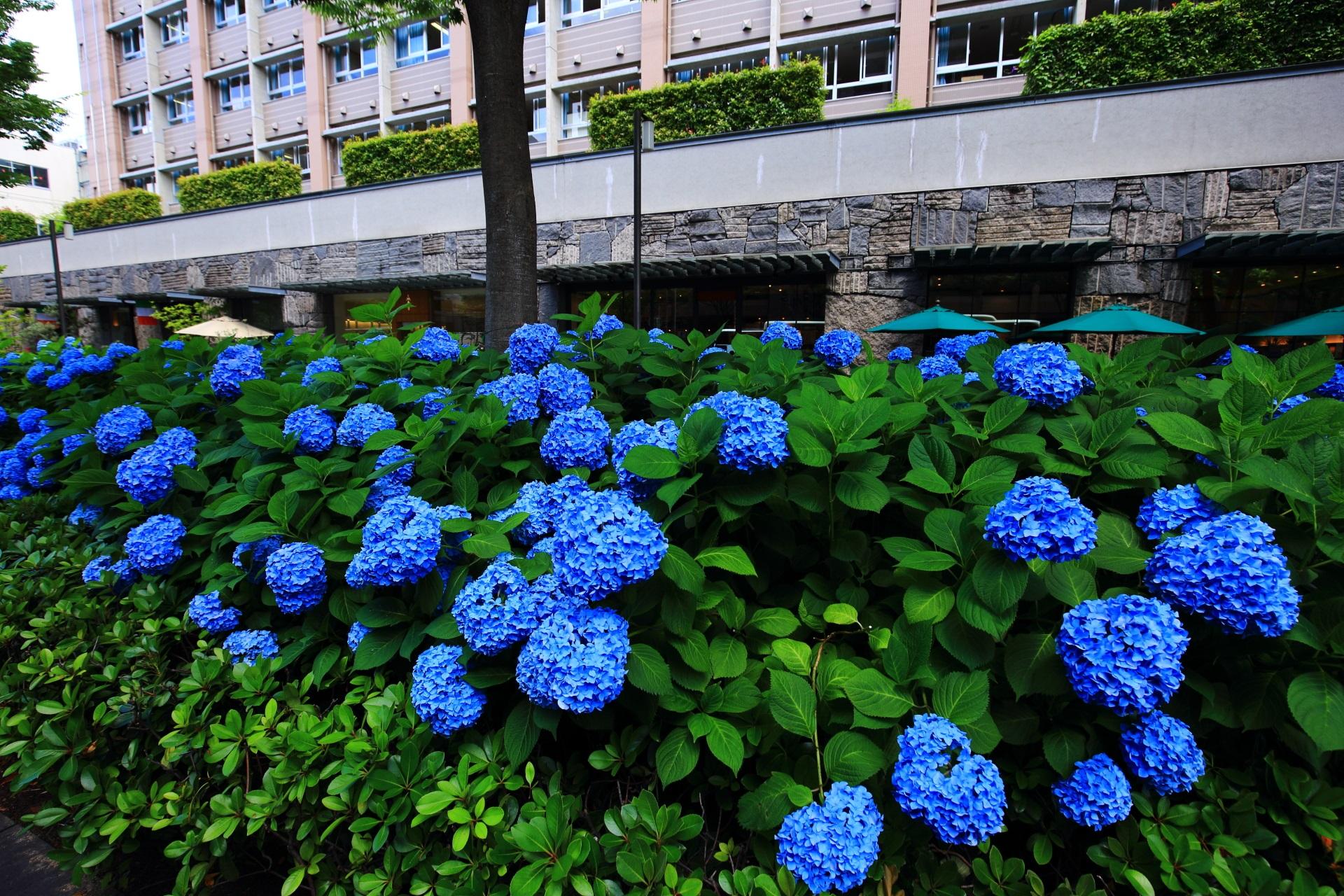 京都御池中学校前のアジサイ
