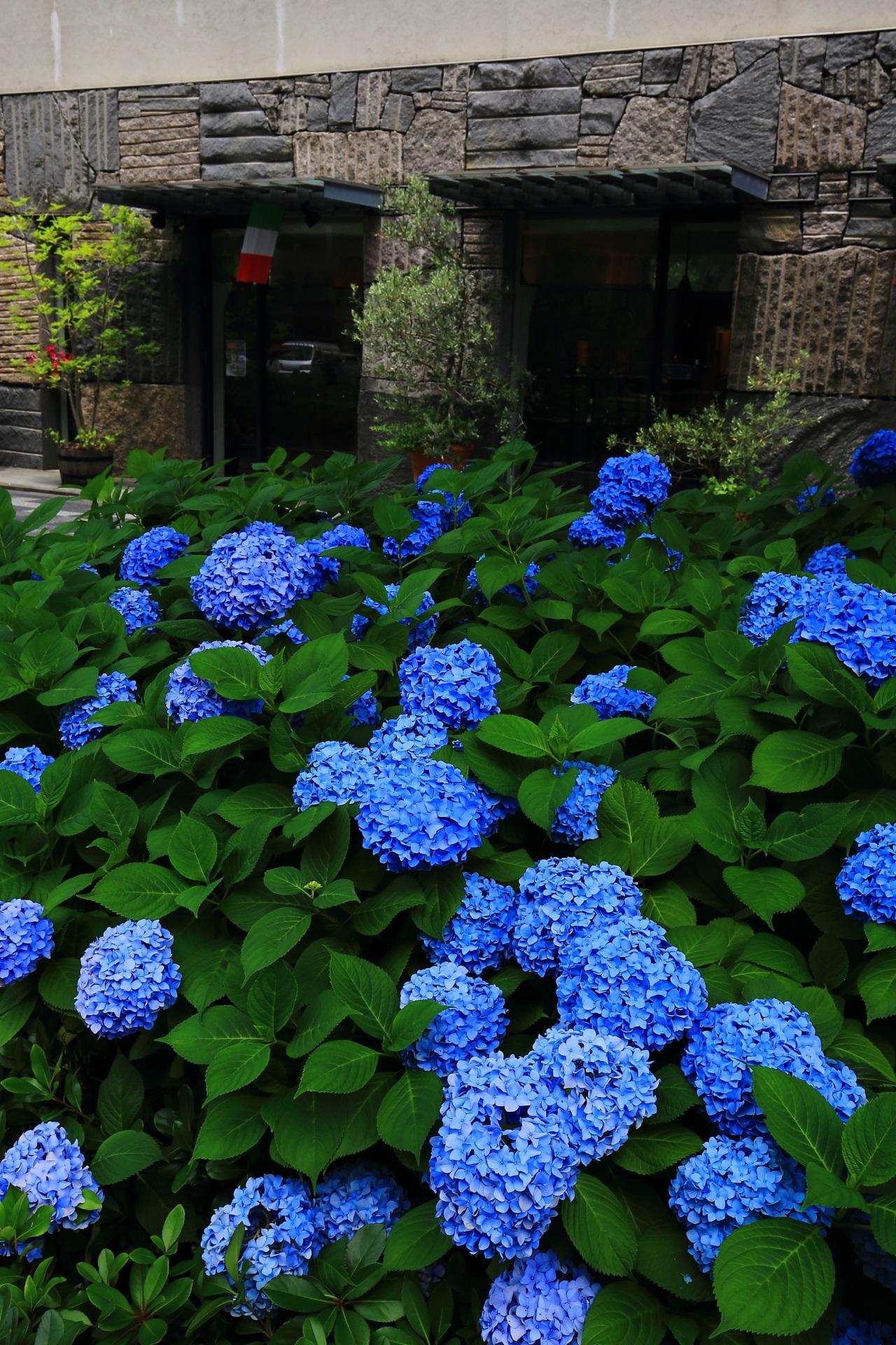 お洒落な石造りの建物の前で優雅に咲く紫陽花