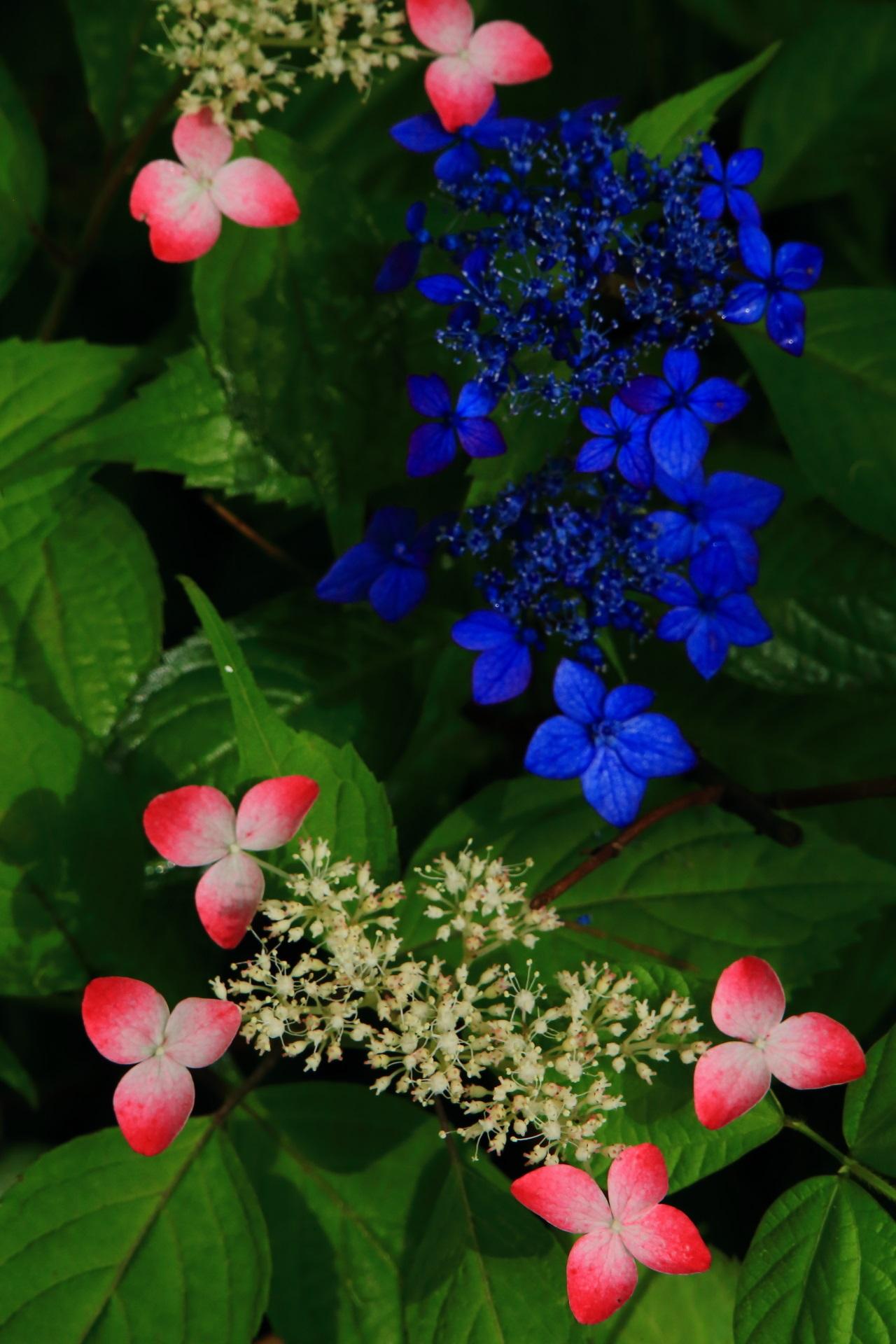 見事なコントラストの赤と青の額紫陽花