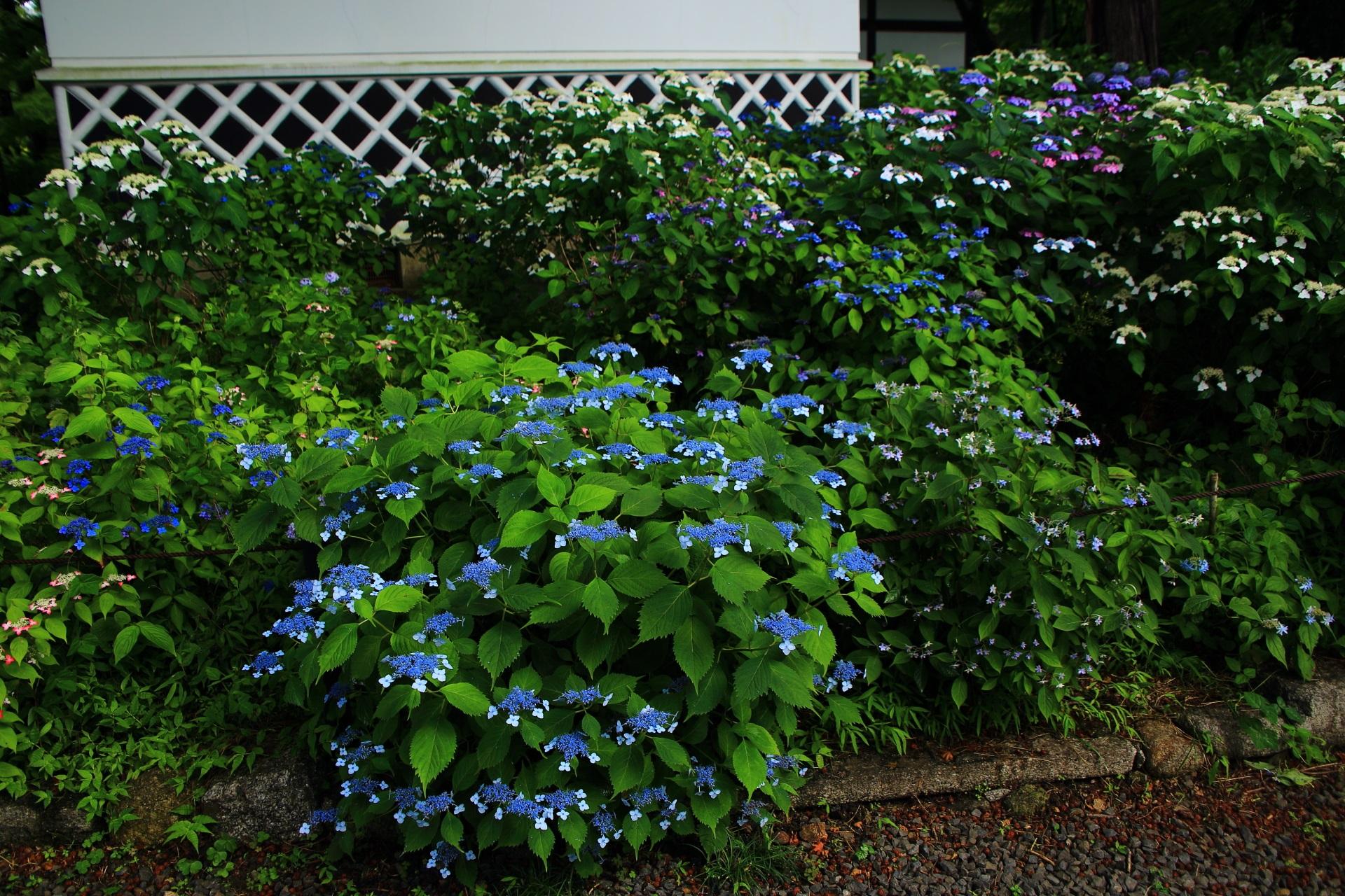 優雅に咲く青や紫の妖艶な額紫陽花