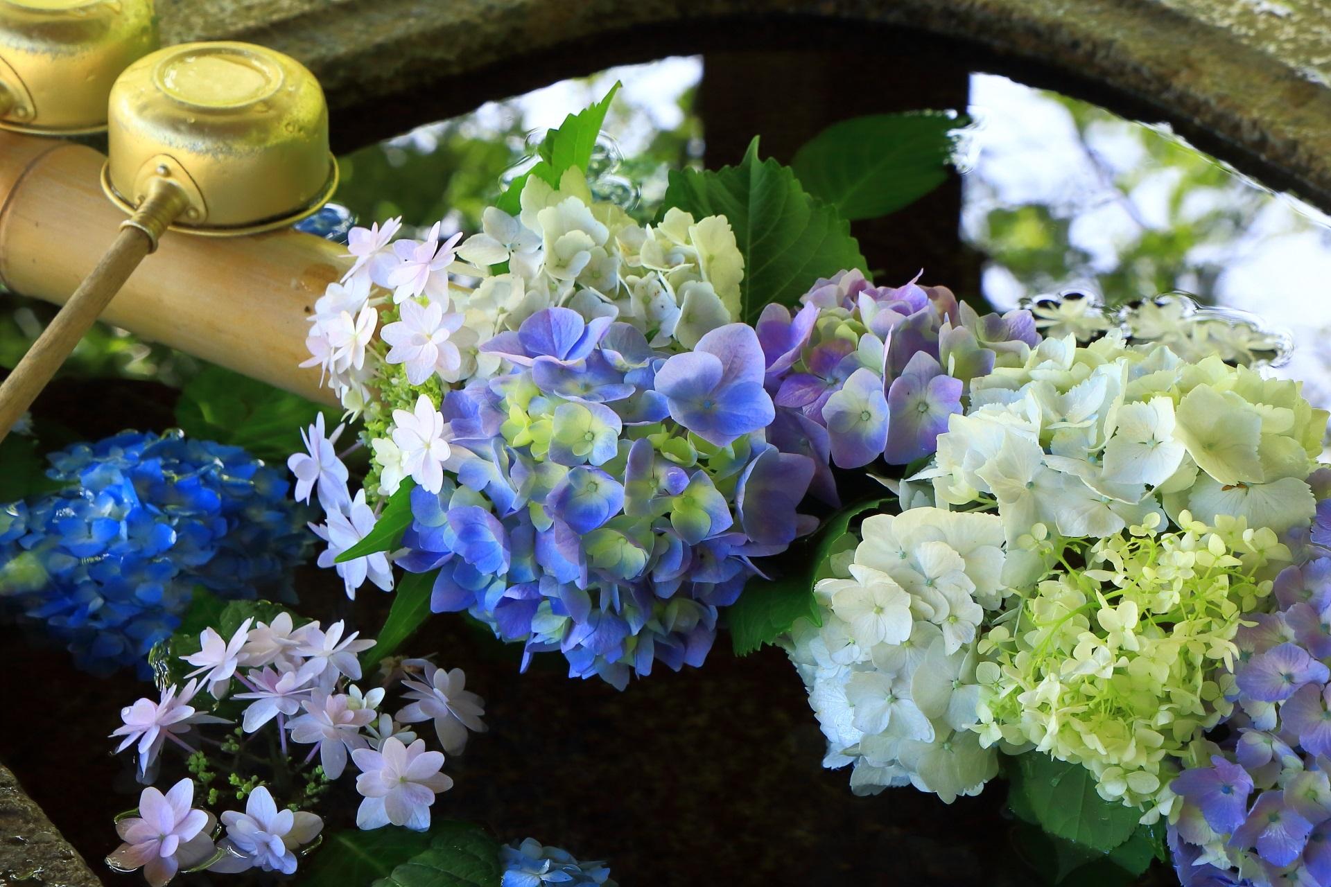 多種多様な紫陽花が添えられた真如堂の紫陽花の手水舎