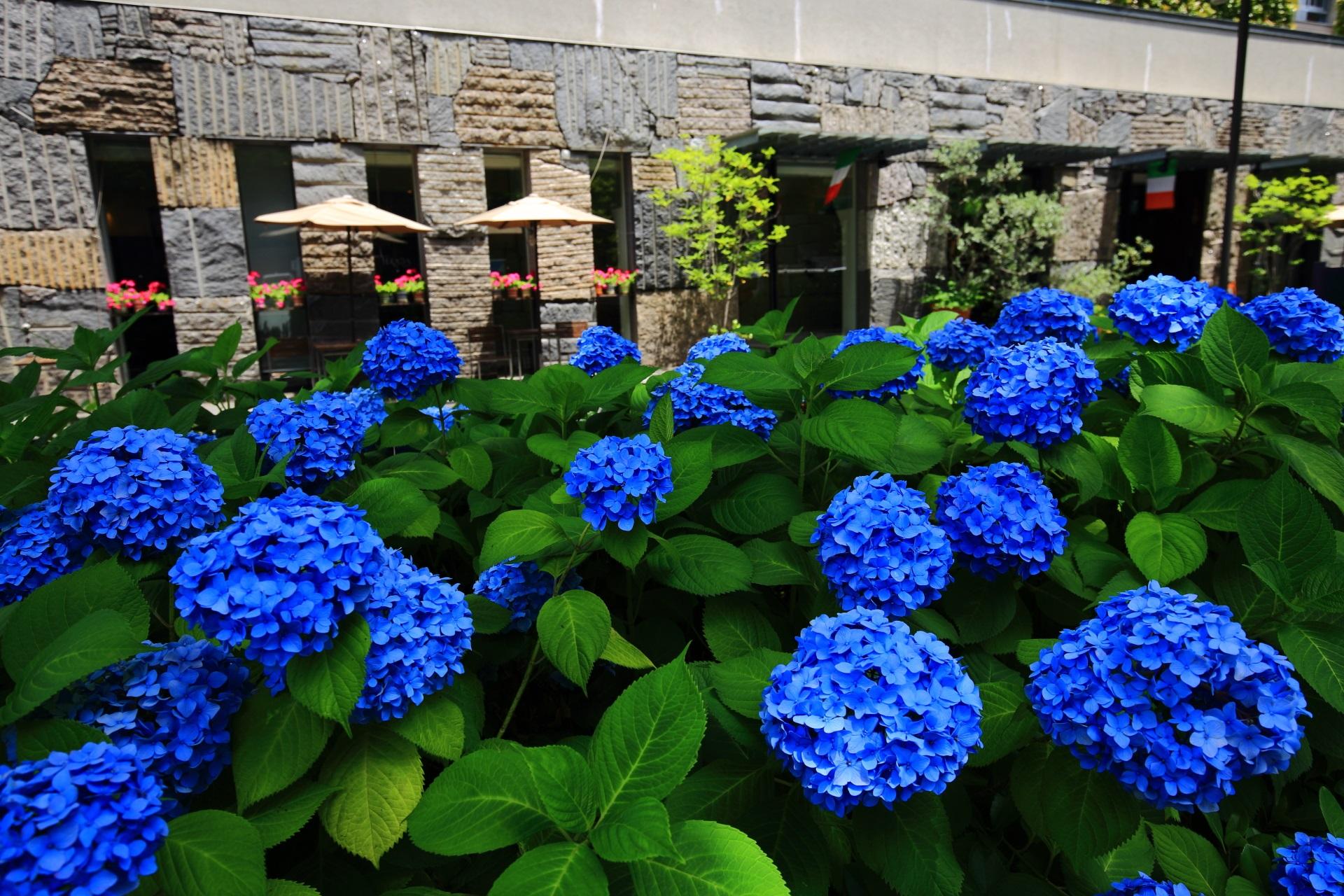 御池通のお洒落な建物を背景に咲くお洒落な紫陽花