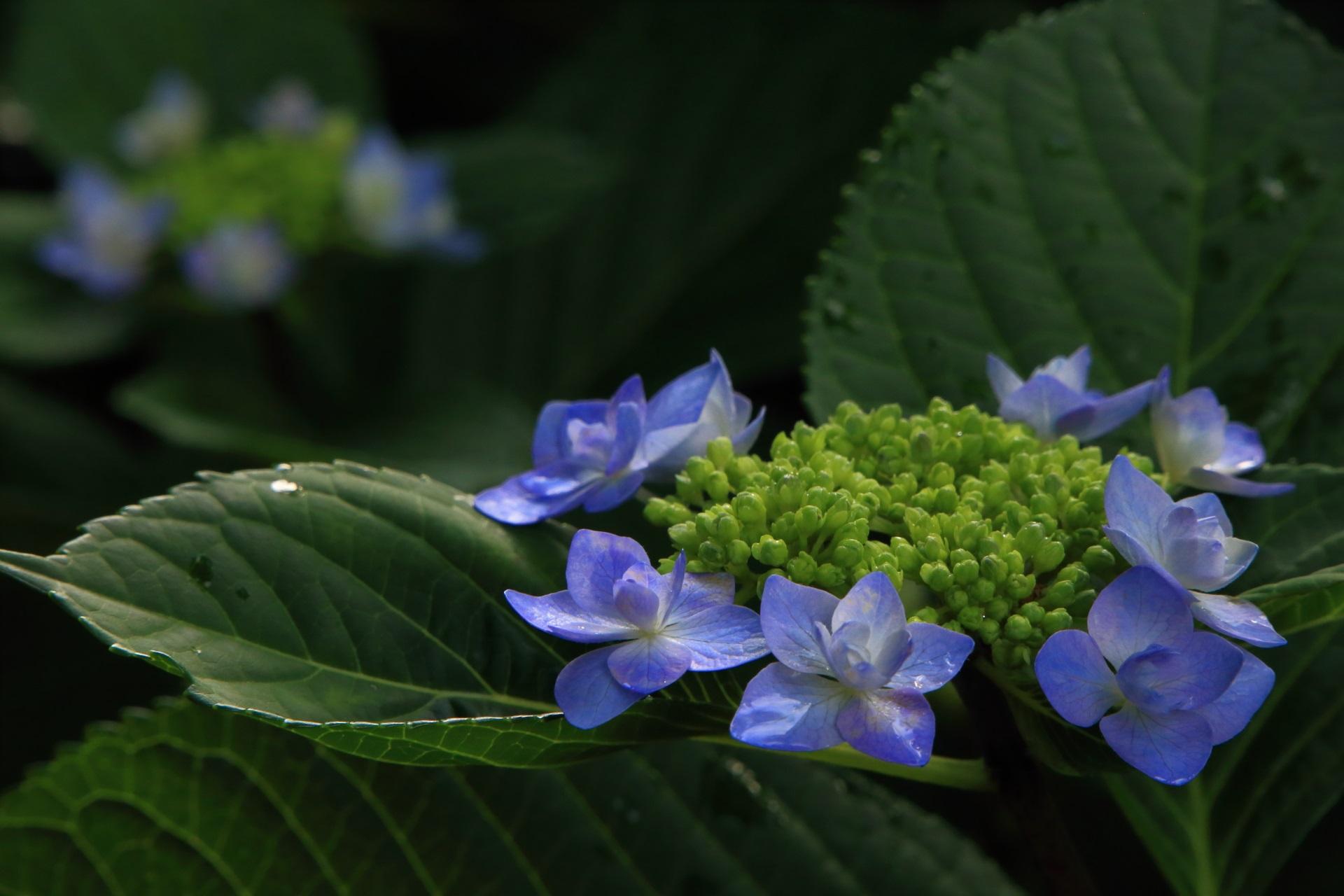 真如堂の雨に濡れる柔らかな色合いの額紫陽花