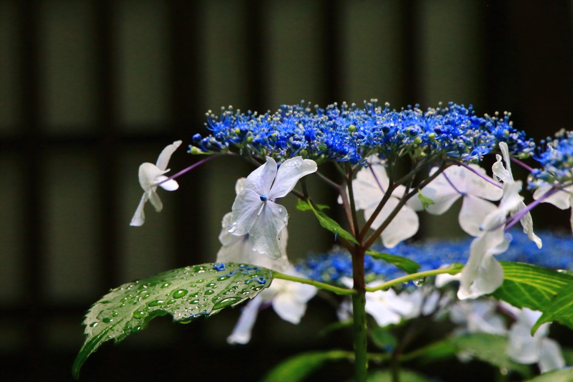 雨水で潤う青系の額紫陽花(ガクアジサイ)