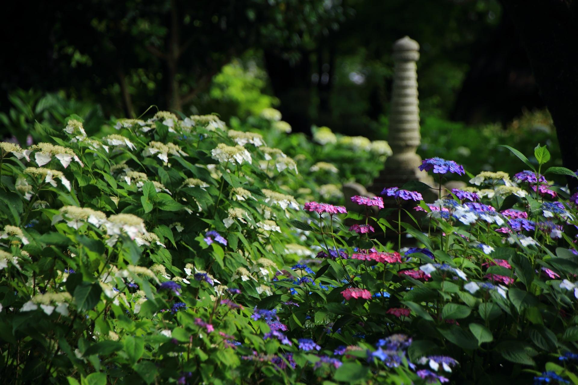 多彩な額紫陽花につつまれる真如堂の宝蔵側の石塔