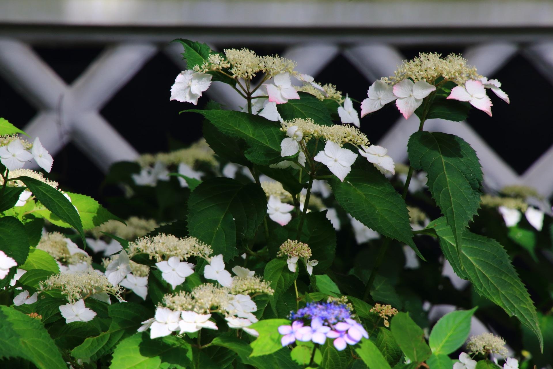 真如堂の宝蔵の白壁と文様が演出する美しい額紫陽花